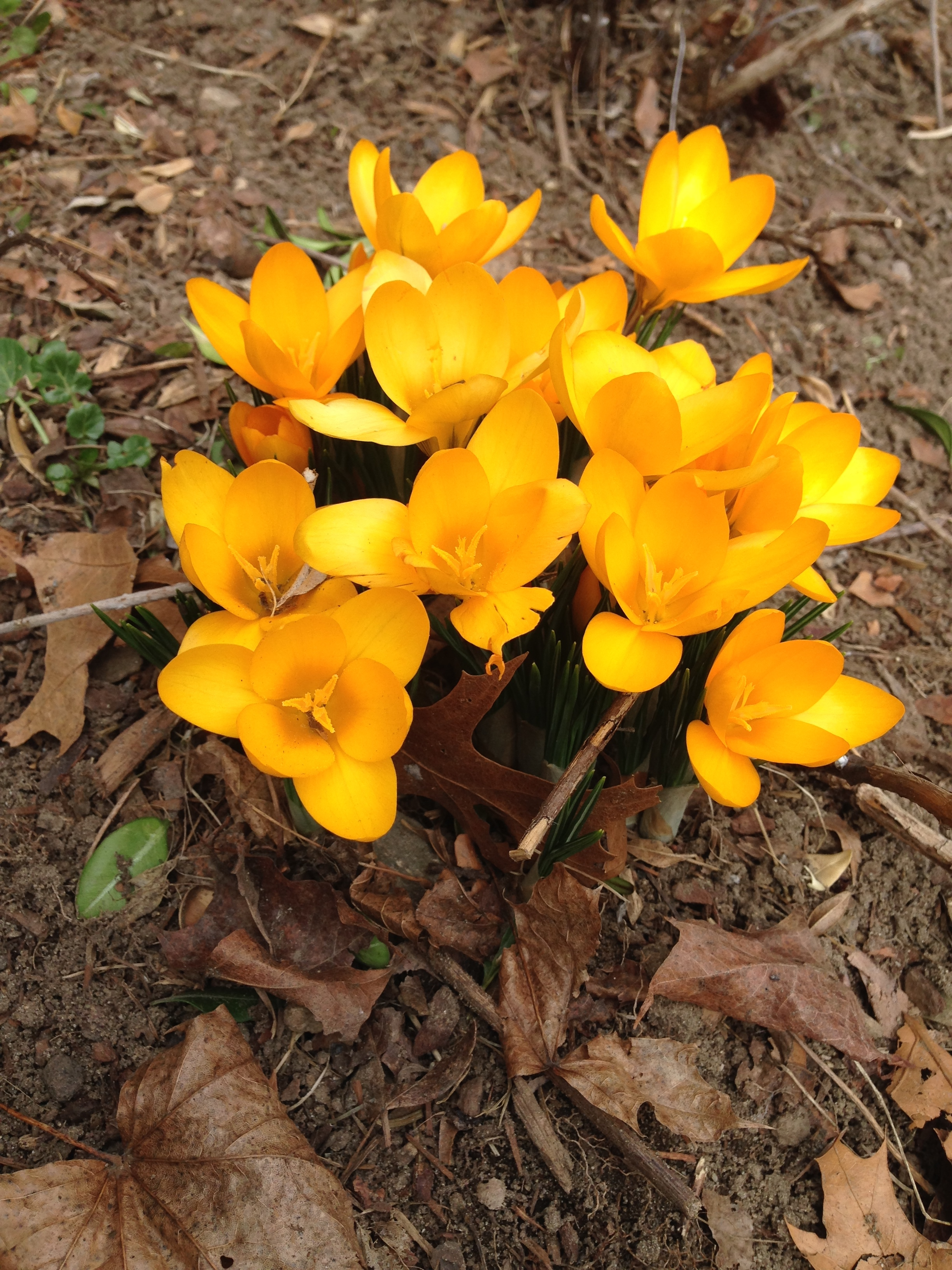 Spring Crocus Detox Cleanse Body Image