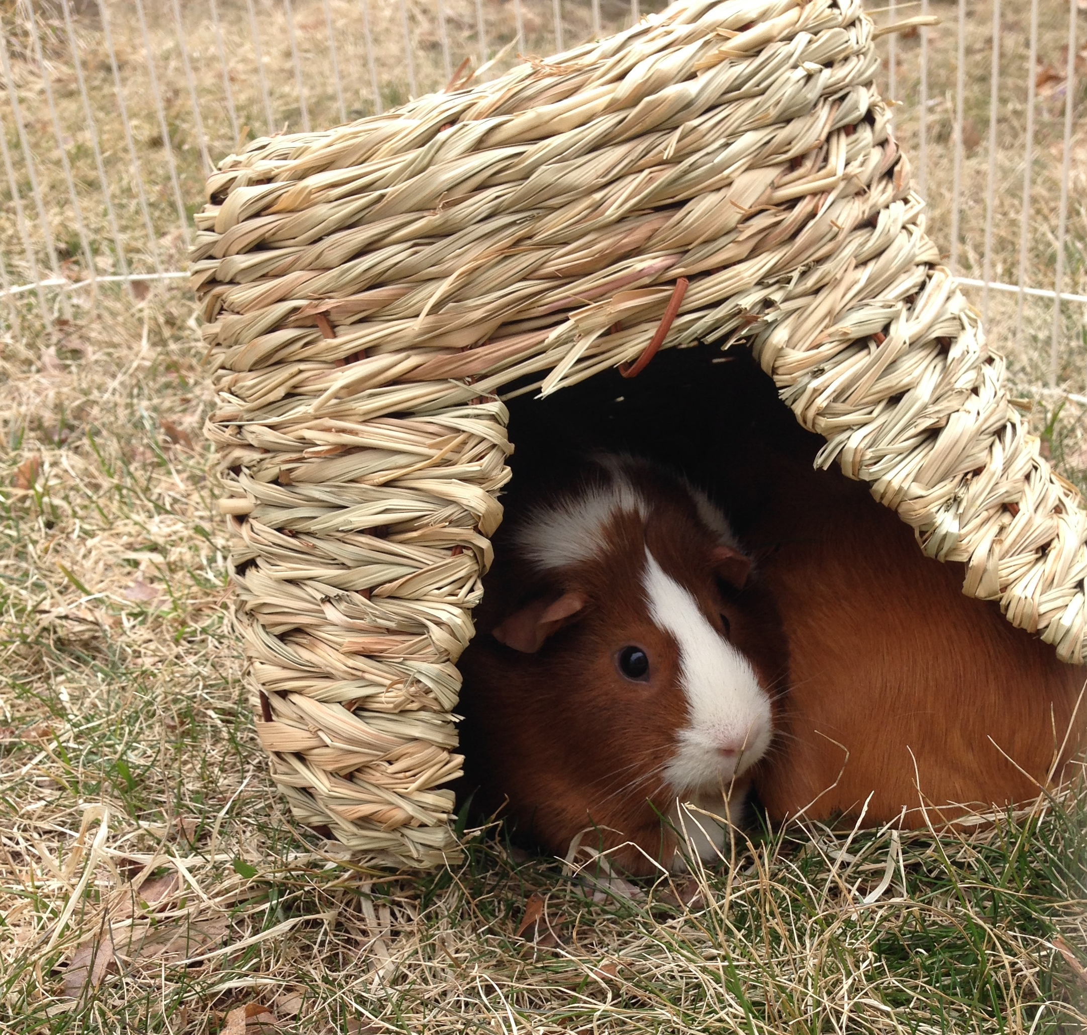 Guinea Pigs Spring Detox Cleanse