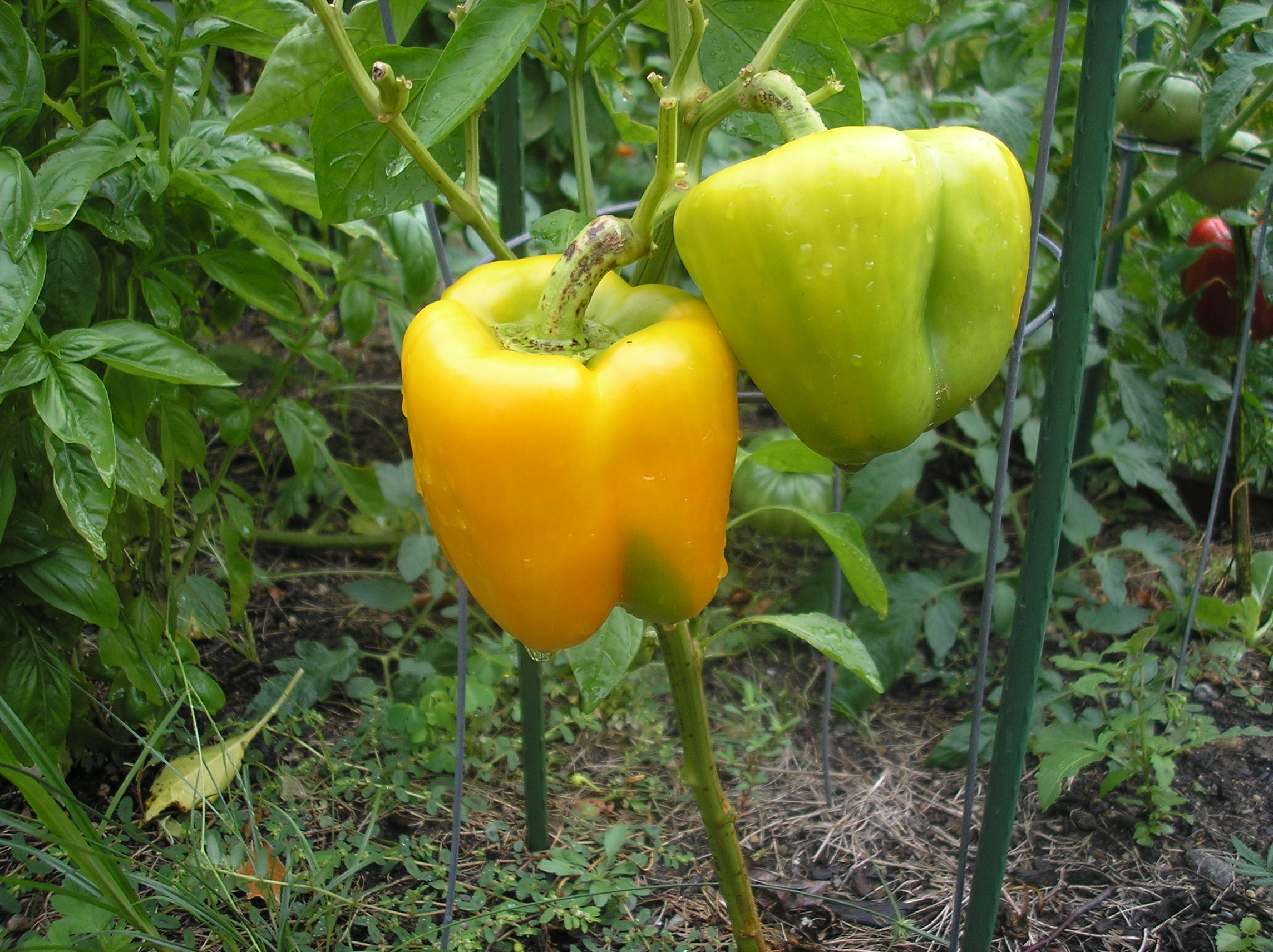 GrowingBellPeppers