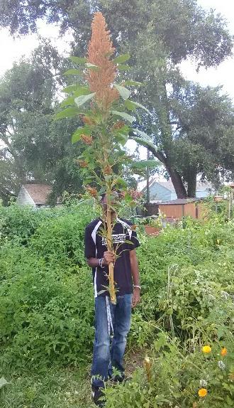 Self seeded Amaranth 2017 Callaloo Crop