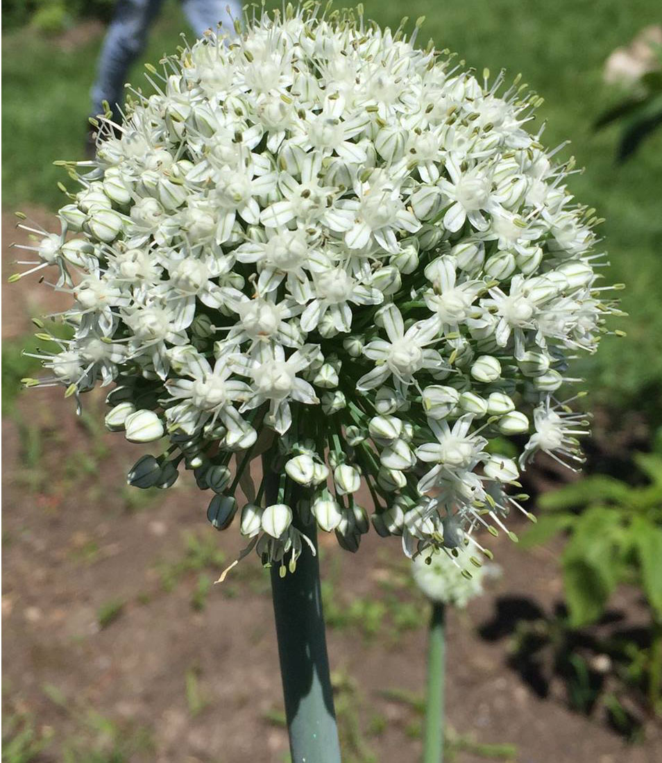 onion bloom.jpg