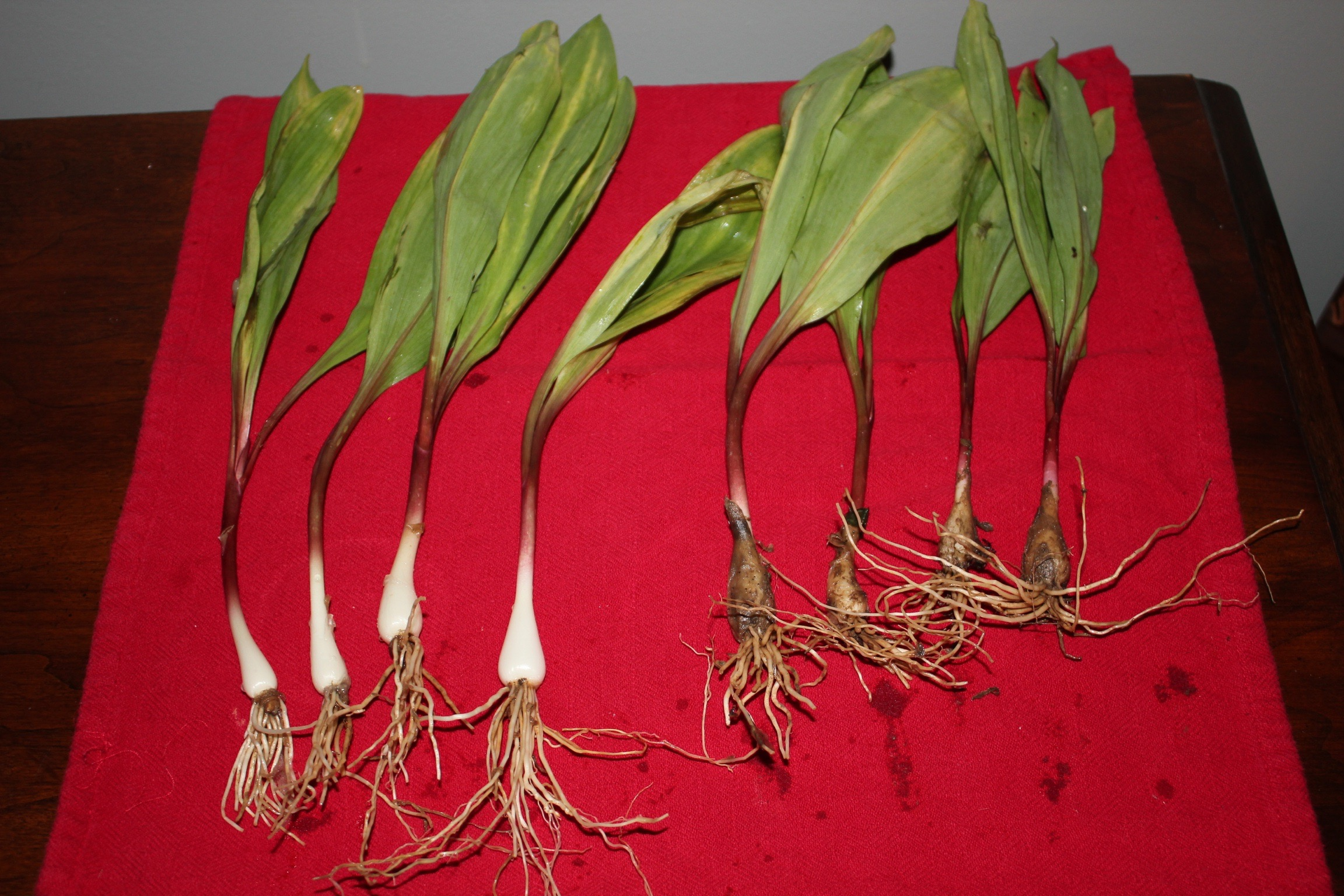 Wild Ramps from West Virginia