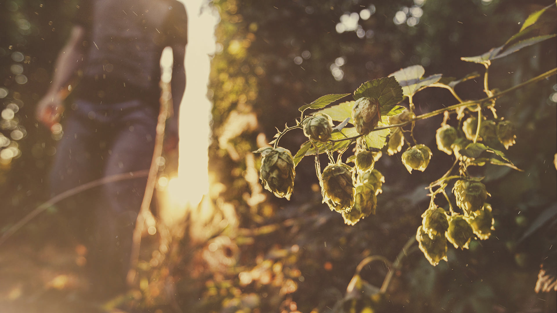 Hop Foreground Walk Sunrise.jpg