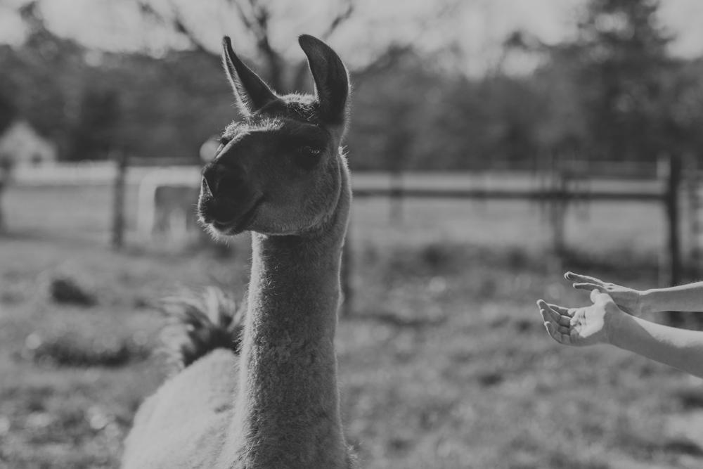 woods-edge-alpaca-farm-and-wools-larry