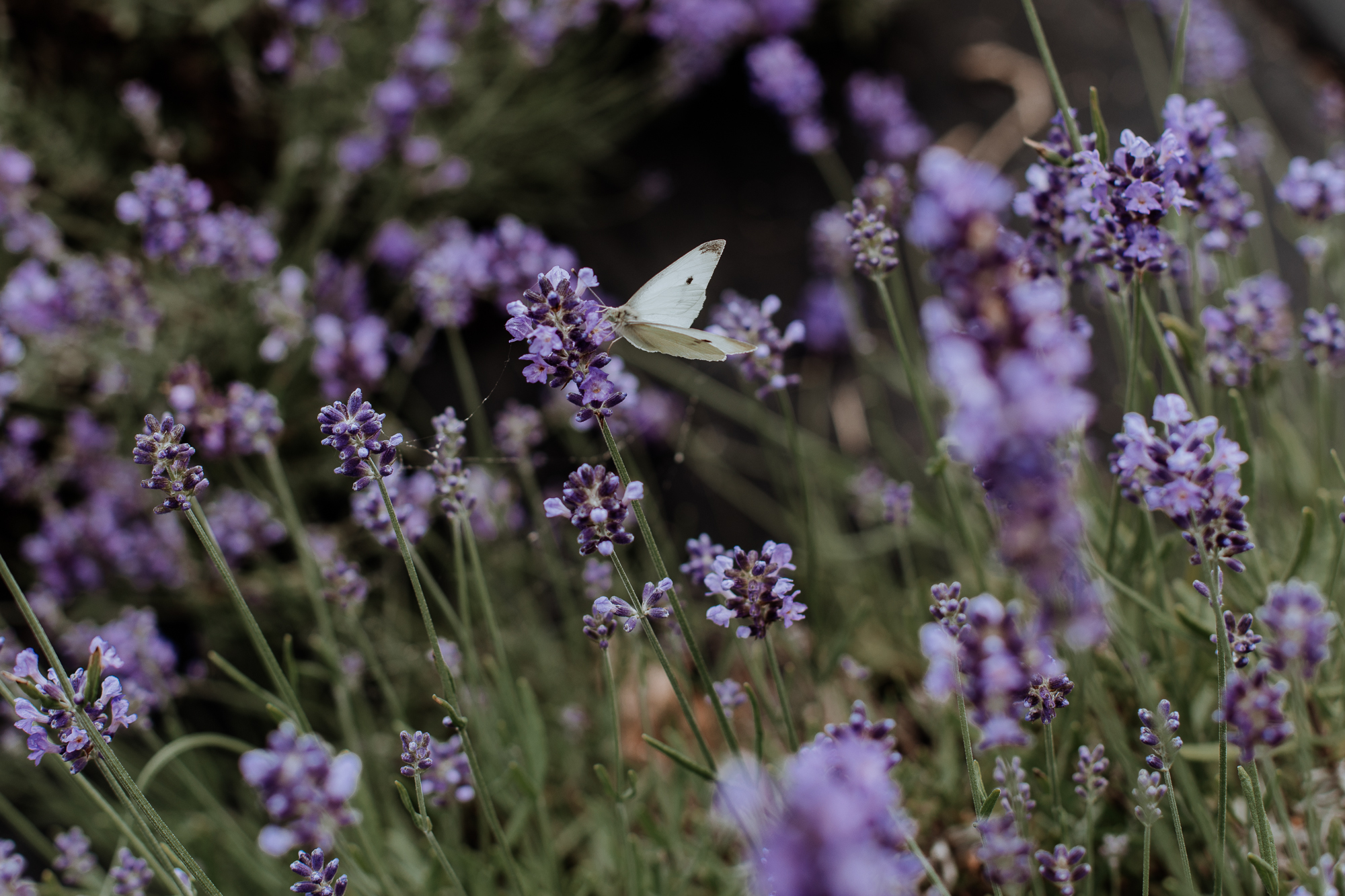 peace-valley-lavender-farm-natural-philadelphia-photography-34