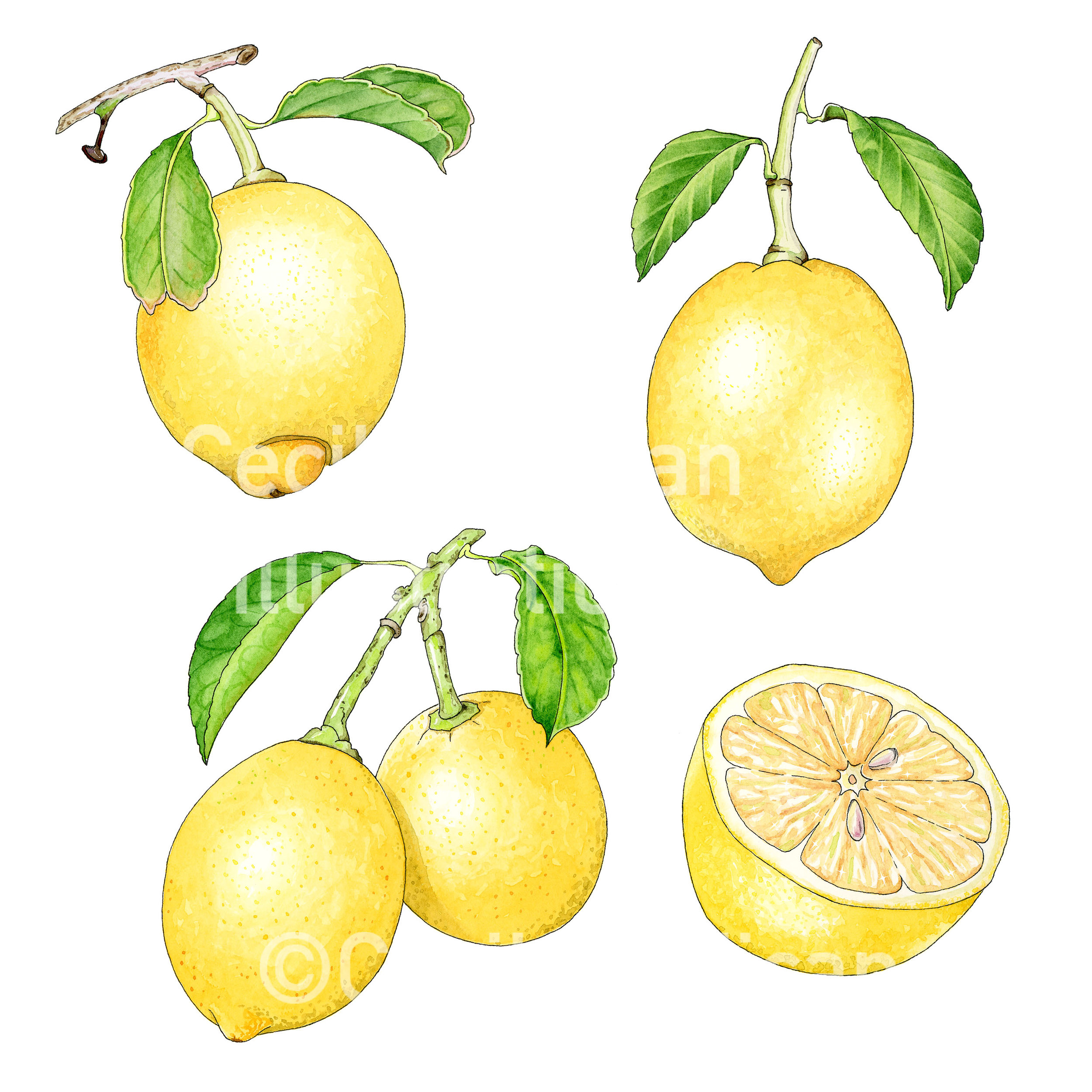 Meyer lemons, created for the  Lemonayo Kickstarter .