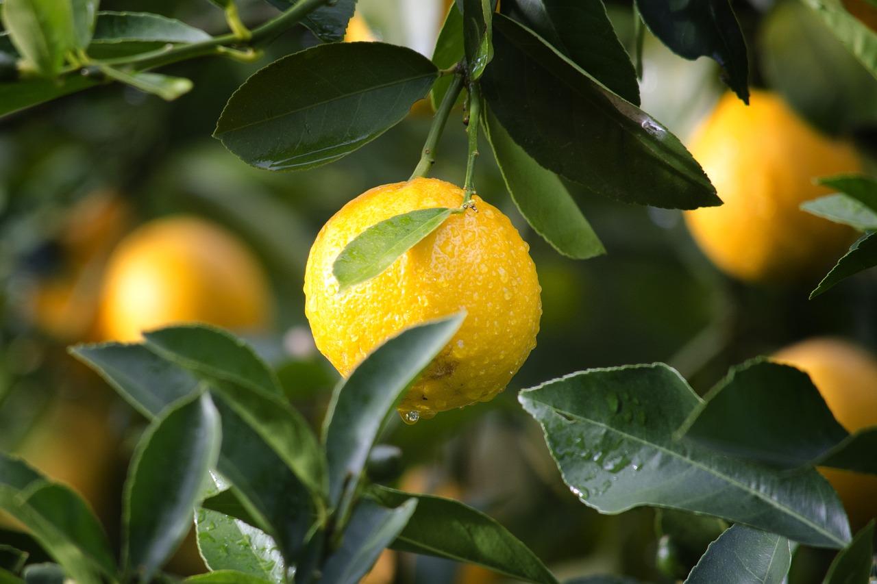 Meyer lemons on the tree.