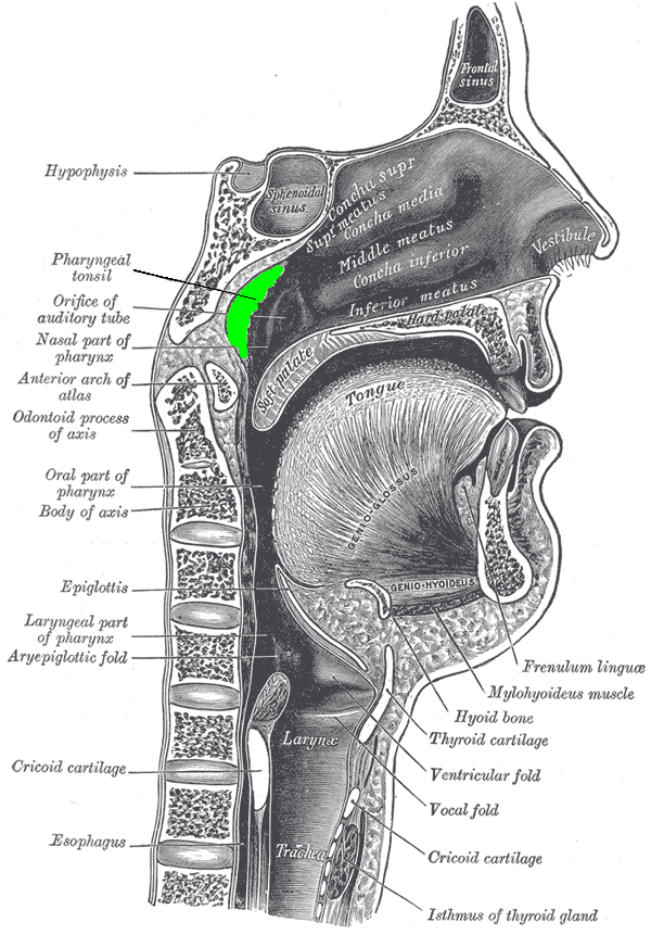 Cross section of the head. The adenoids (also known as the pharyngeal tonsil) are at the back of the nose, shown in green.
