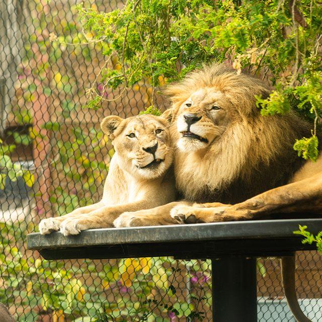 When was the last time you bit your special someone's head?  Try it today. #sandiegozoo #sandiego #lion #lions #california #nikonusa #sigmaphoto #raymondvestalphotography