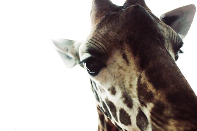 Giraffe_6196.jpg
