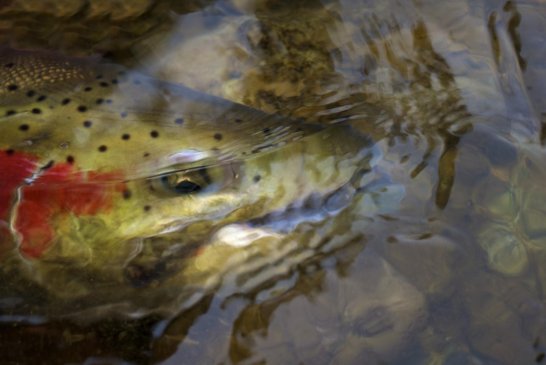 A spring steelhead shows its color. Salmon River, Idaho.