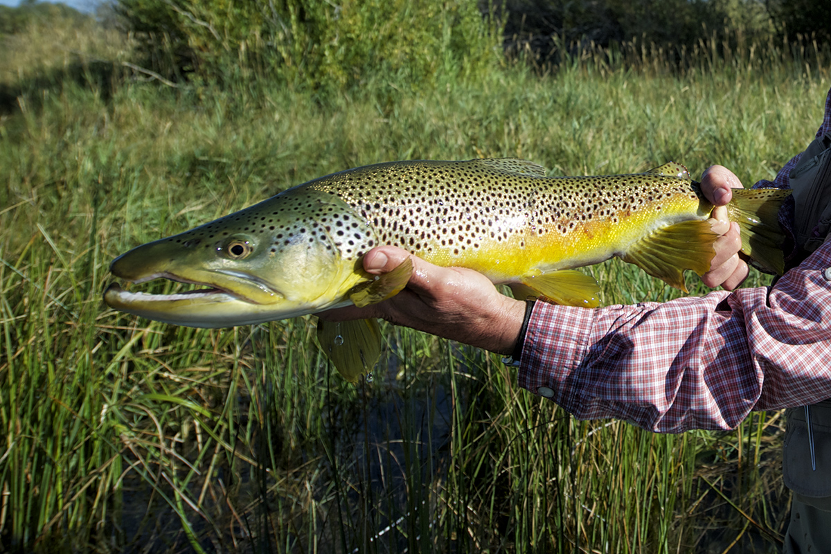Here's an example of a  male Brown Trout . Note the elongated jaw and even the convex anal fin. Males also often have a slightly longer lower jaw. The jaw on the male brown is not short and rounded at all... An elongated jaw on male trout and male salmon as well is called a Kype. The older the male trout becomes, the more elongated Kype it will have. The above image was taken on Silver Creek.  photo: nick price