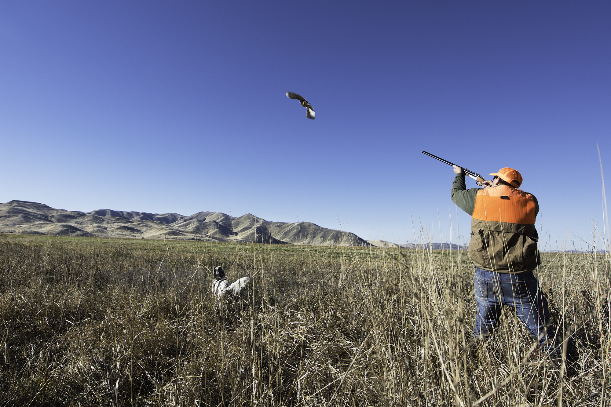 Bring your own dog or hunt over one of our pointers, setters or Labradors. Either way, cagey roosters await!