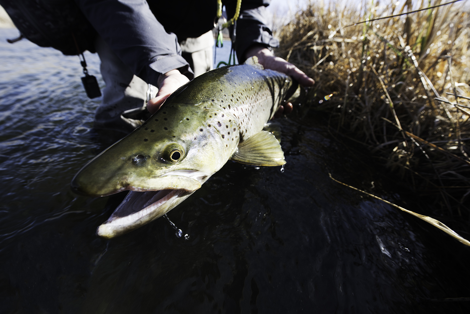 A beautiful brown trout caught yesterday (2/5/18) on Silver Creek