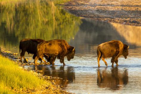 chuck-haney-bison-wildlife-crossing-little-missouri-river-theodore-roosevelt-national-park-north-dakota-usa.jpg