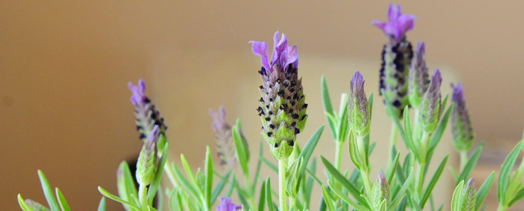 My starter plant for Lavender Container Garden