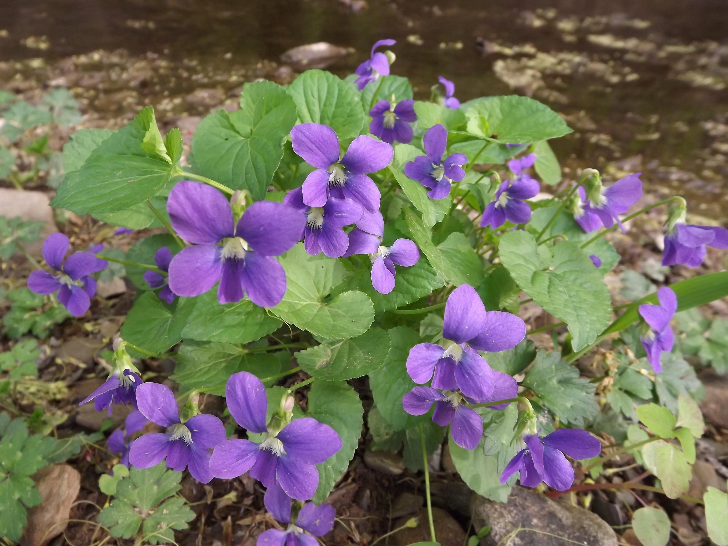 Common Blue Violet   Viola papilionacea