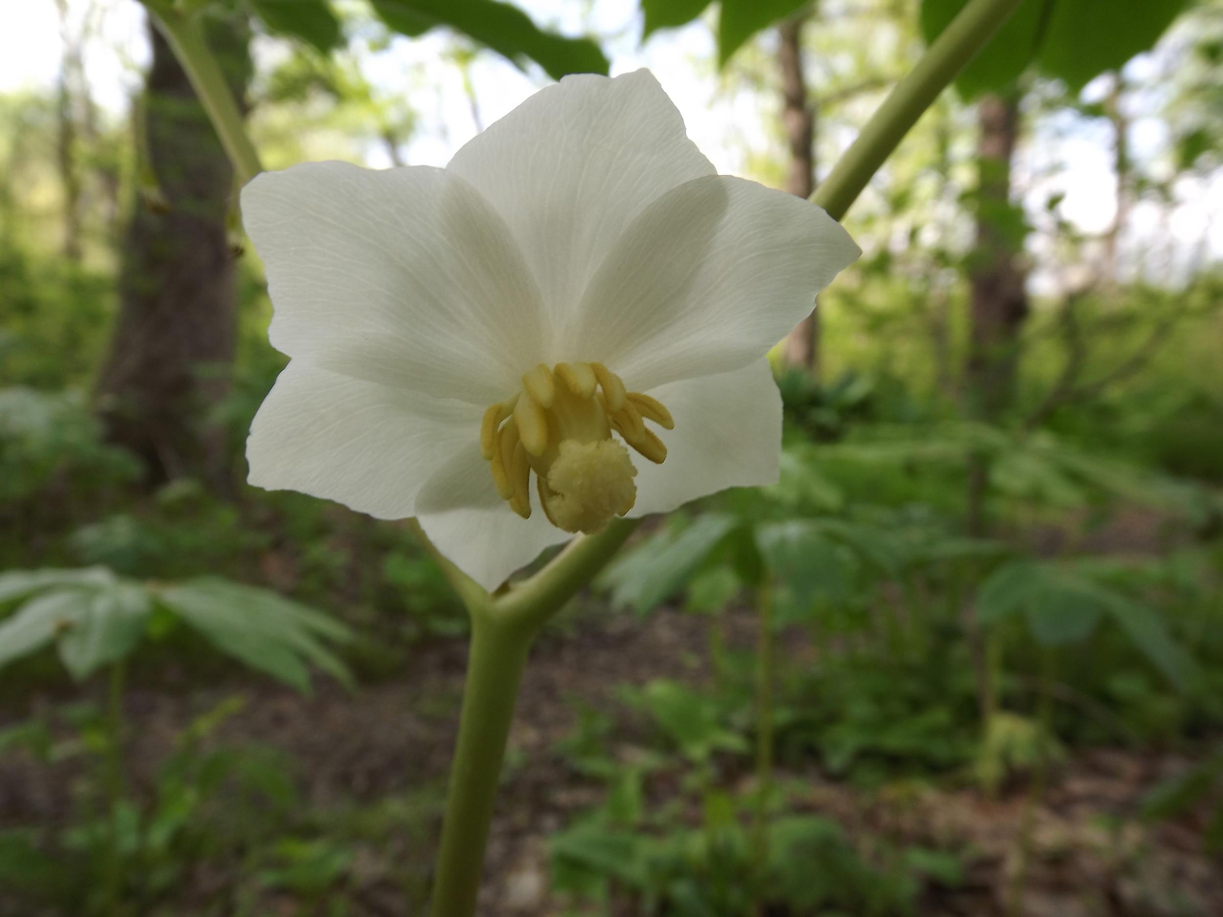 May Apple flowering   Podophyllum peltatum