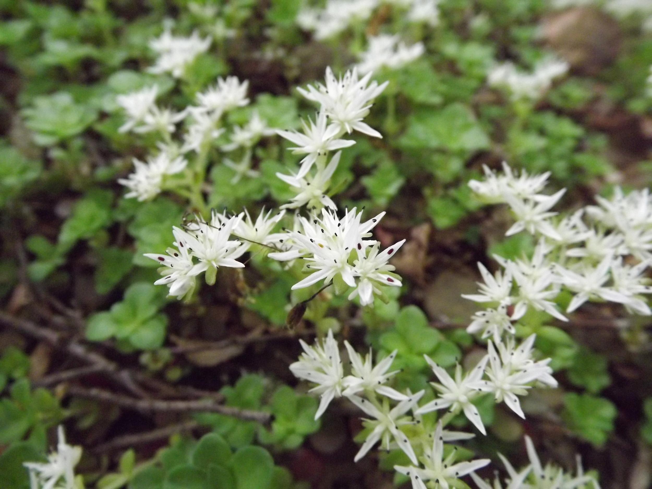 Woodland Stonecrop   Sedum ternatum   5.19.13