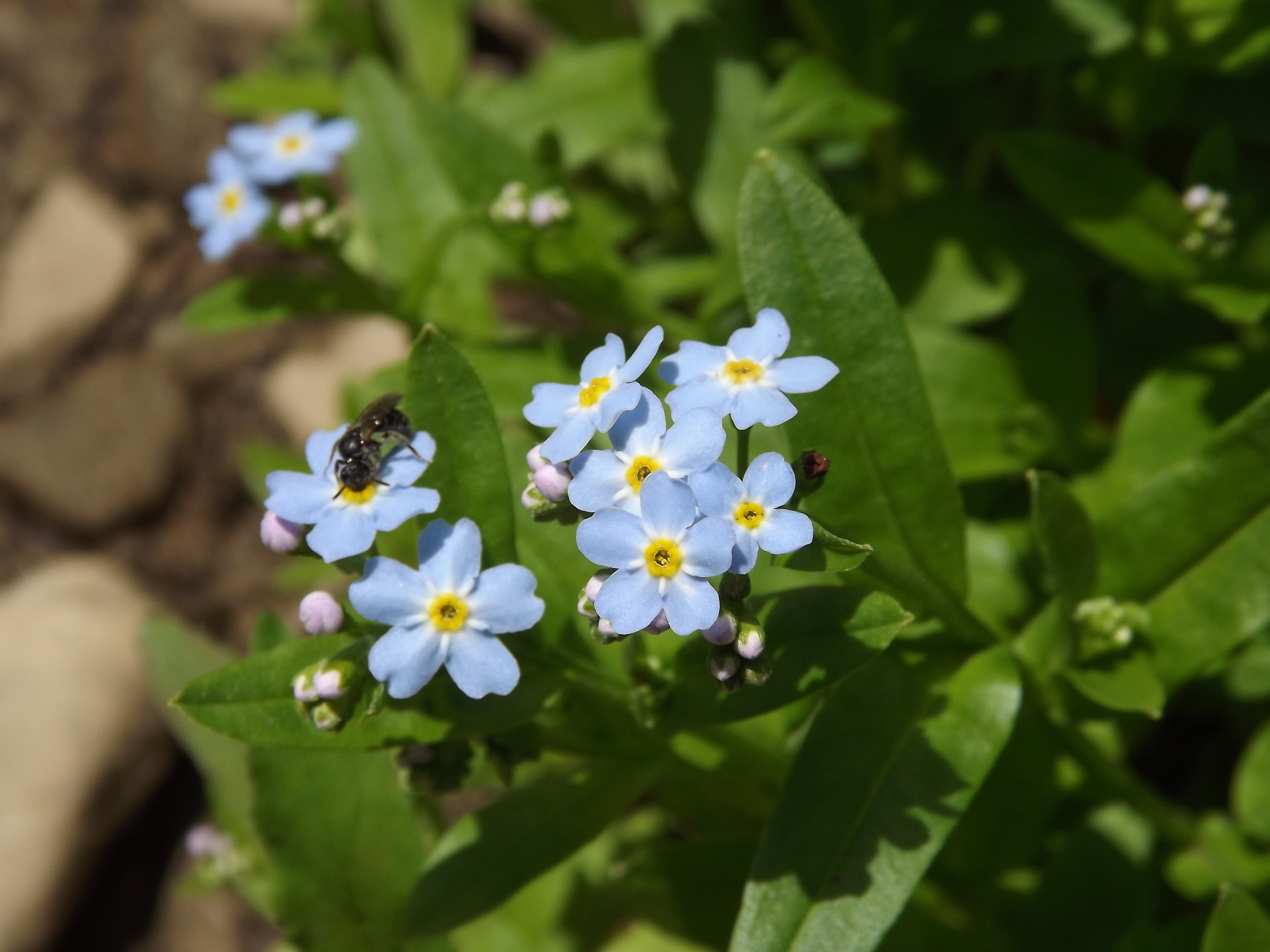Small Flowered Forget-Me-Not (with a visitor)   Myosotis laxa   5.19.13