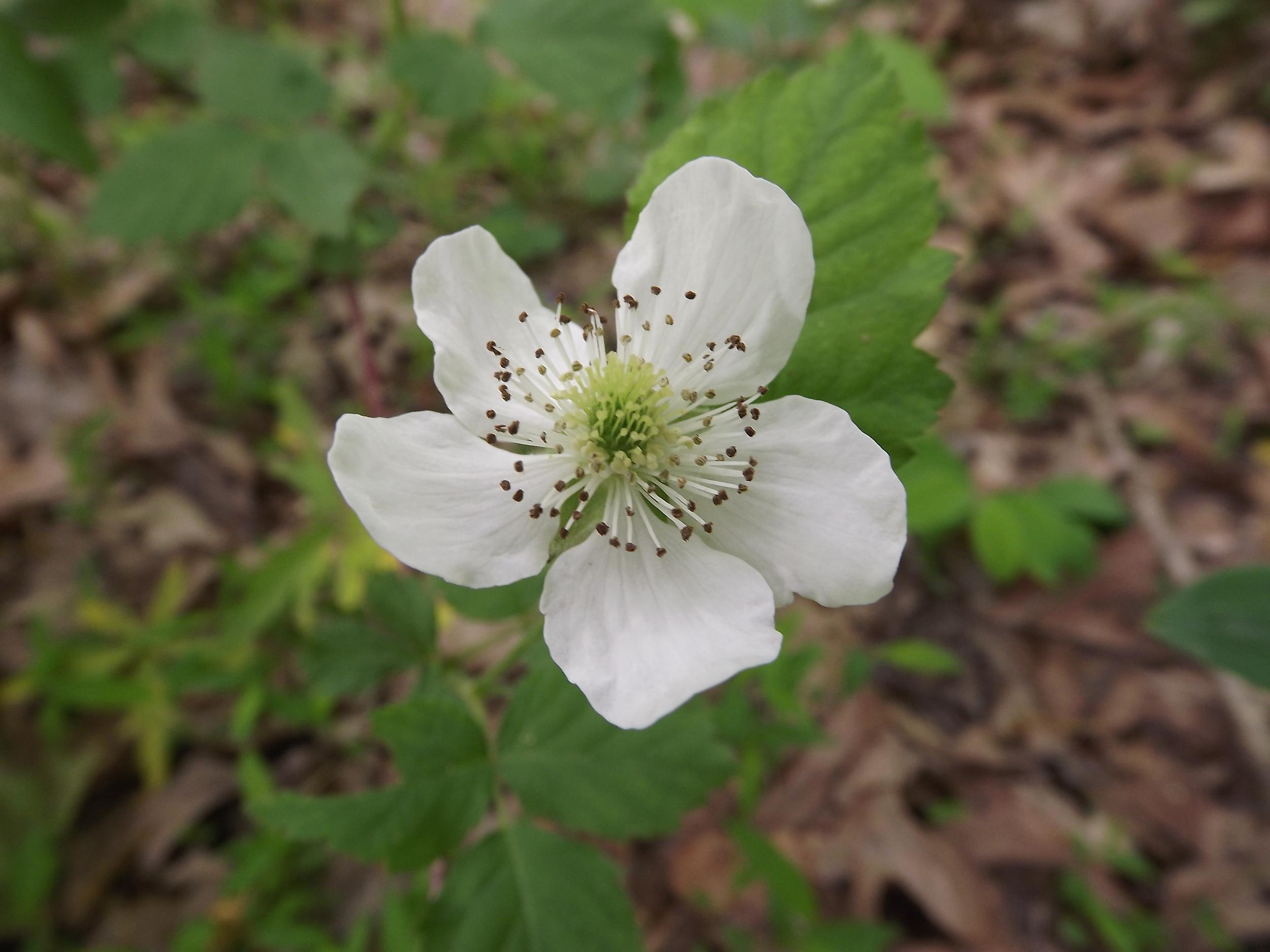 Swamp Dewberry   Rubus hispidus   5.19.13