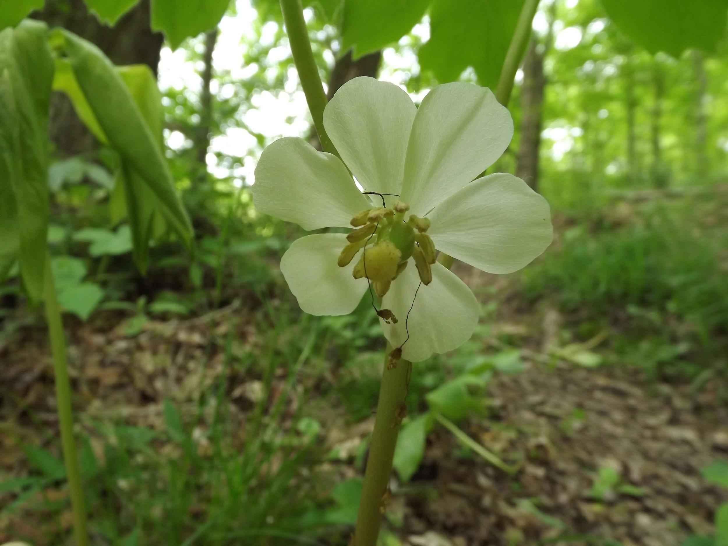 May Apple   Podophyllum peltatum   5.19.13
