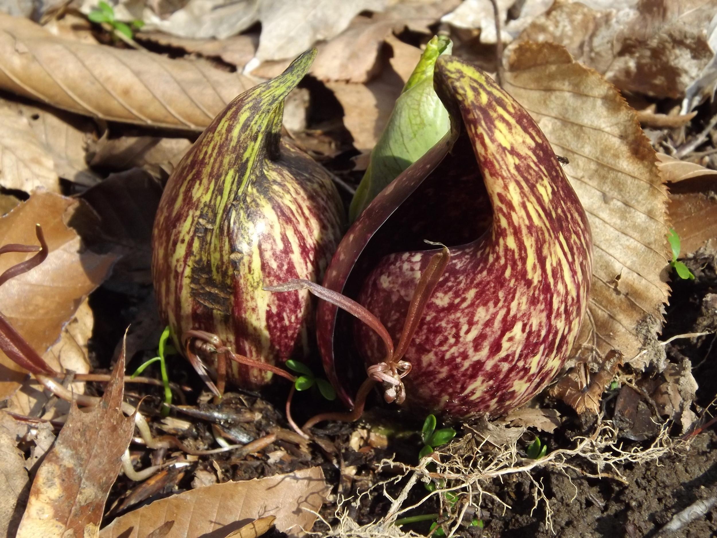 Eastern Skunk Cabbage   Symplocarpus foetidus   3.10.13