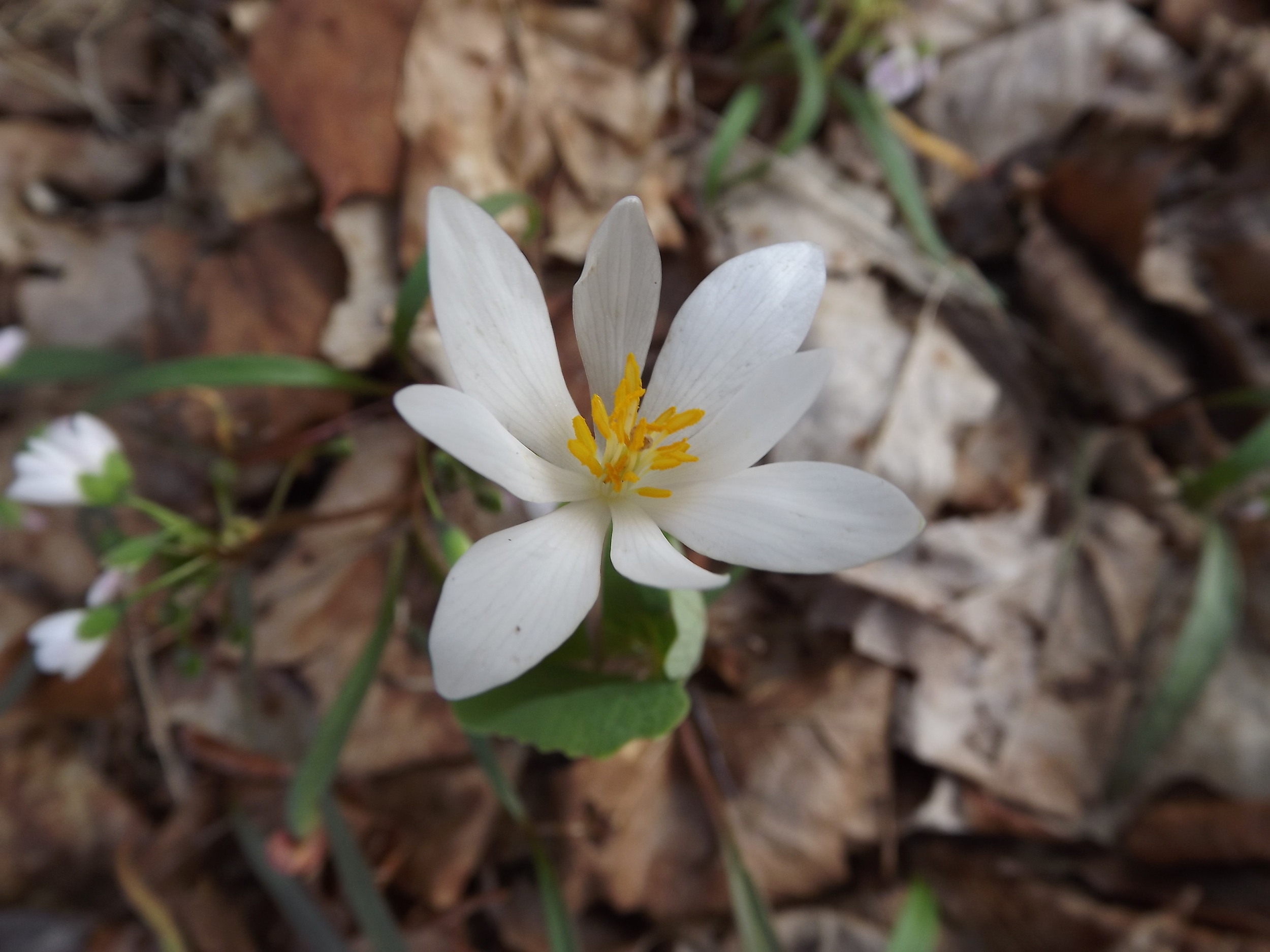 Bloodroot   Sanguinaria canadensis   4.17.13