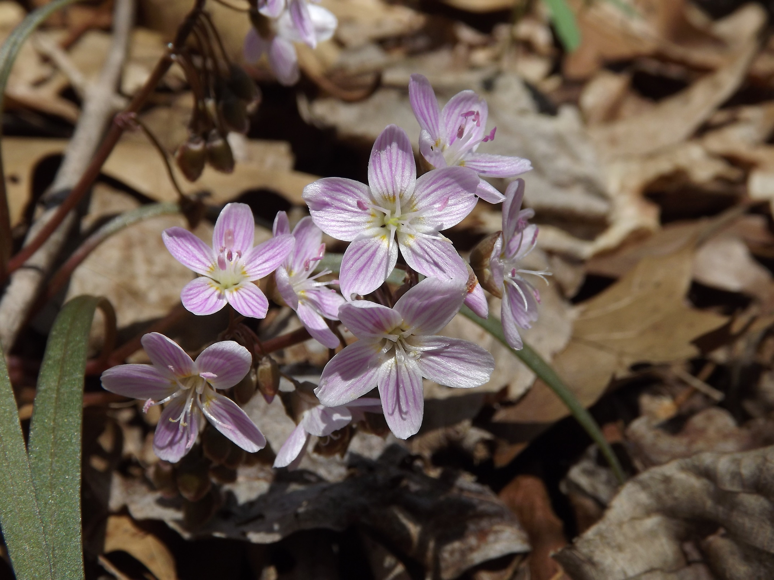 Spring Beauty   Claytonia virginica   4.21.13