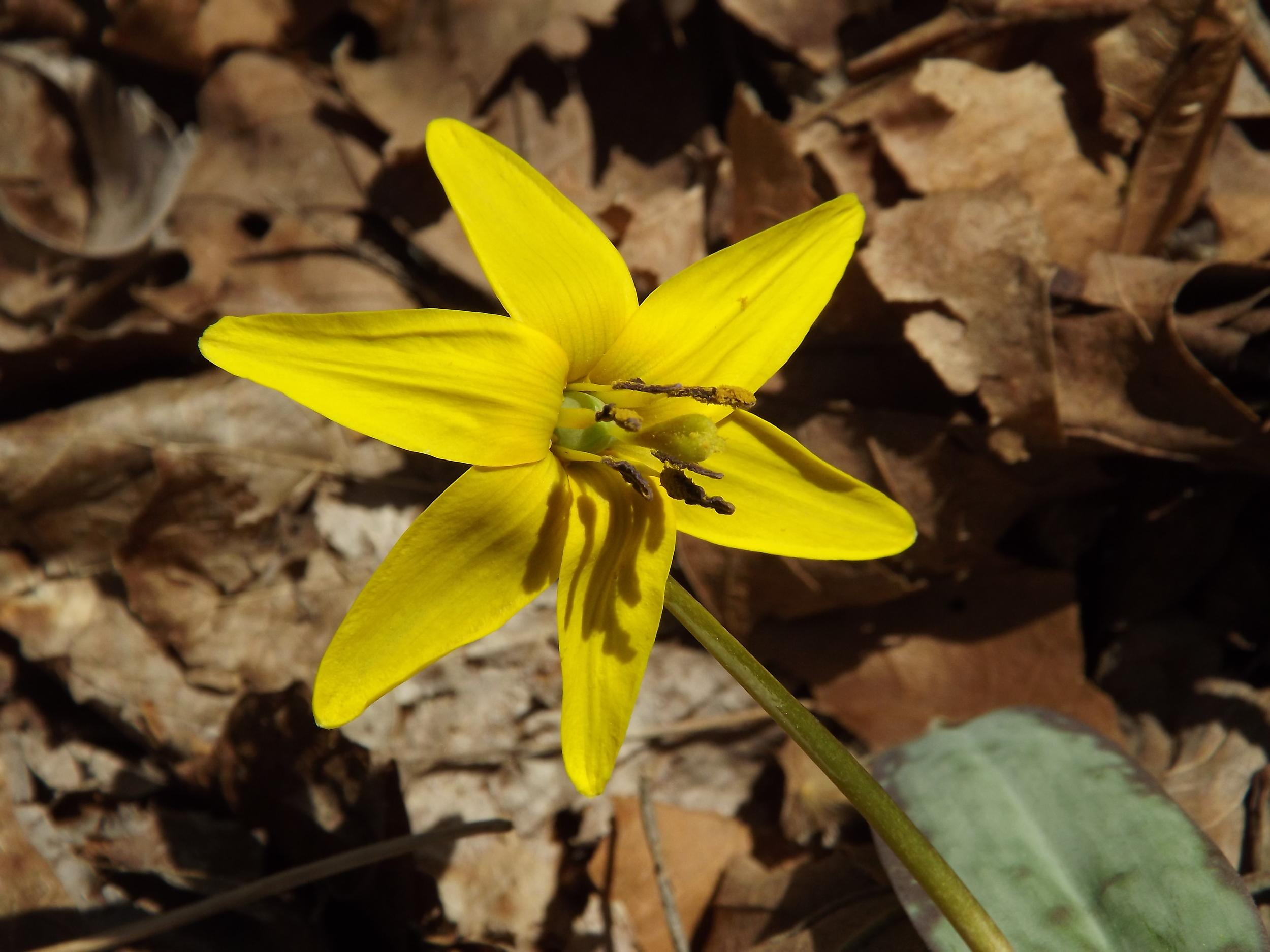 Trout Lily   Erythronium americanum   4.21.13