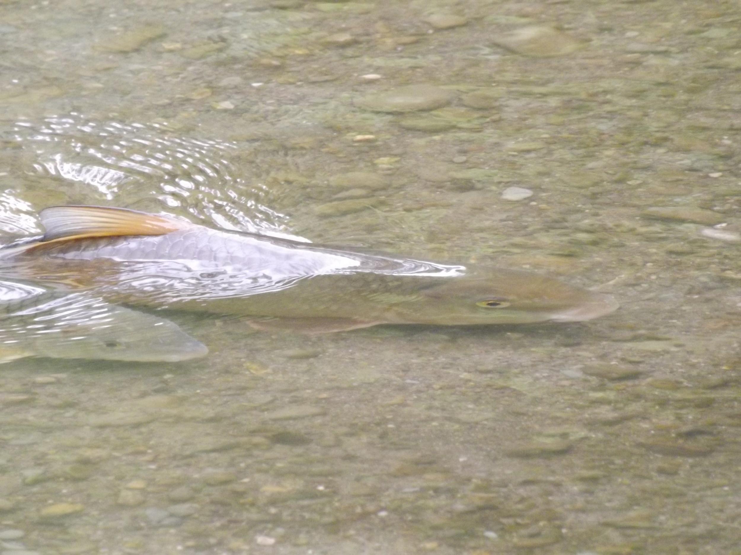 Common Carp working through the shallows   Cyprinus carpio   5.26.13