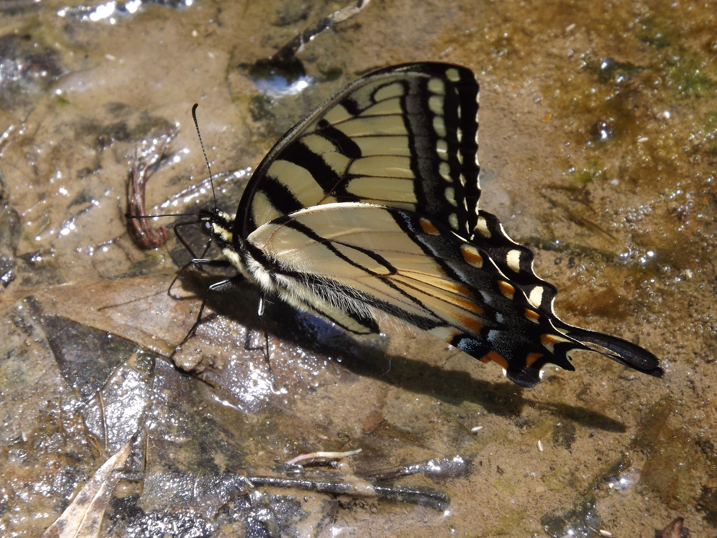 Eastern Tiger Swallowtail Butterfly    Pterourus glaucus
