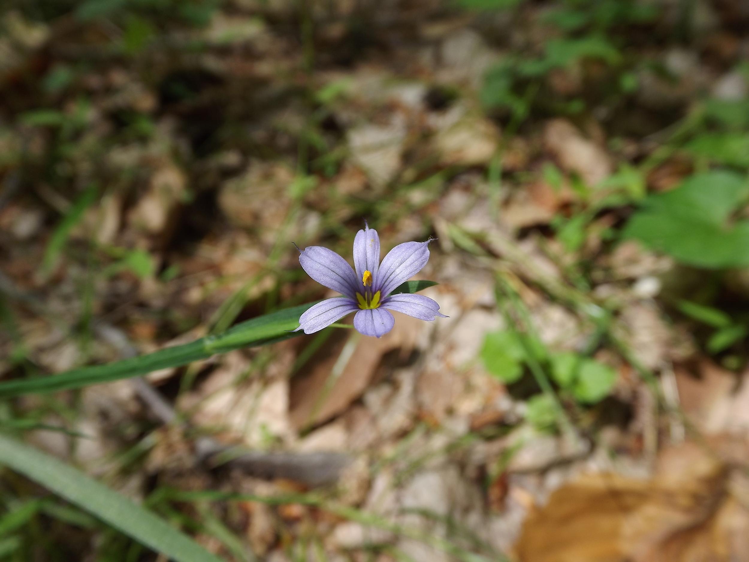 Pointed Blue Eyed Grass    Sisyrinchium angustifolium