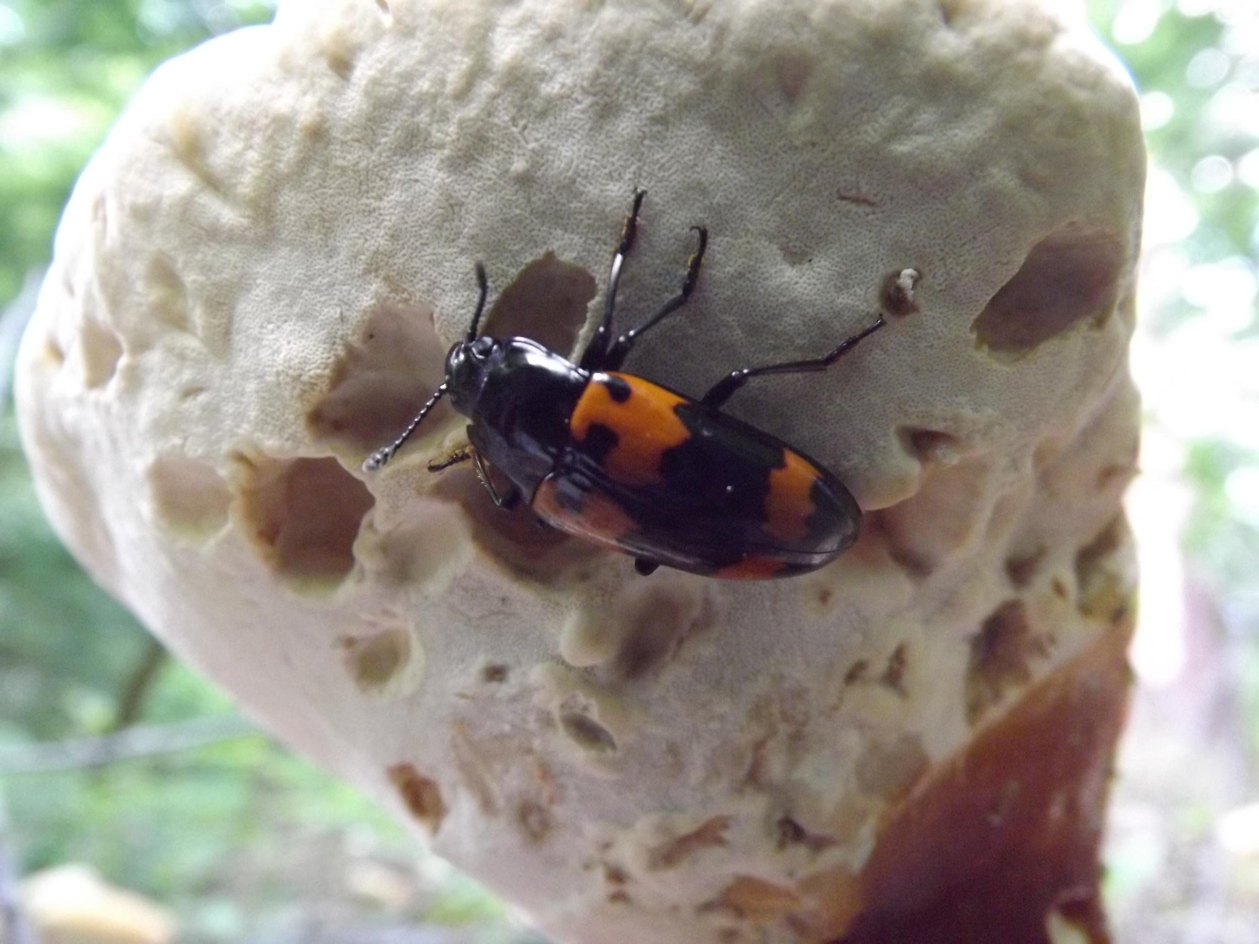 Fungus Beetle    Megalodacne heros