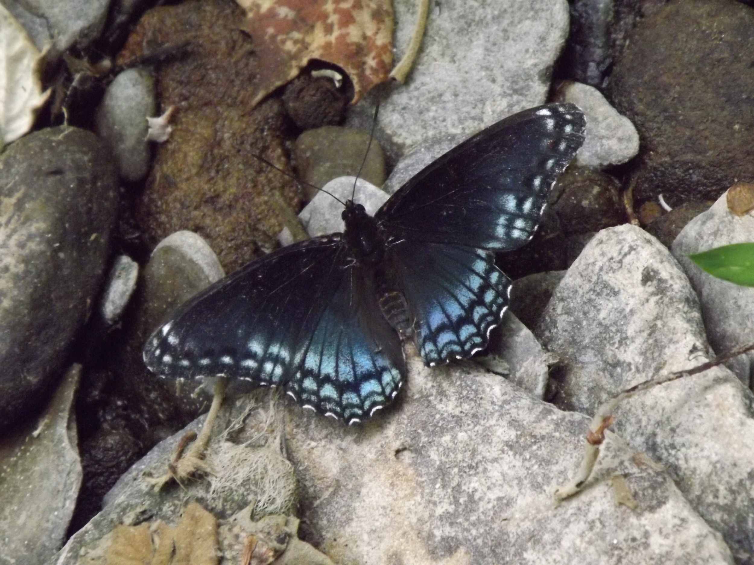 Red-Spotted Purple Butterfly    Limenitis astyanax