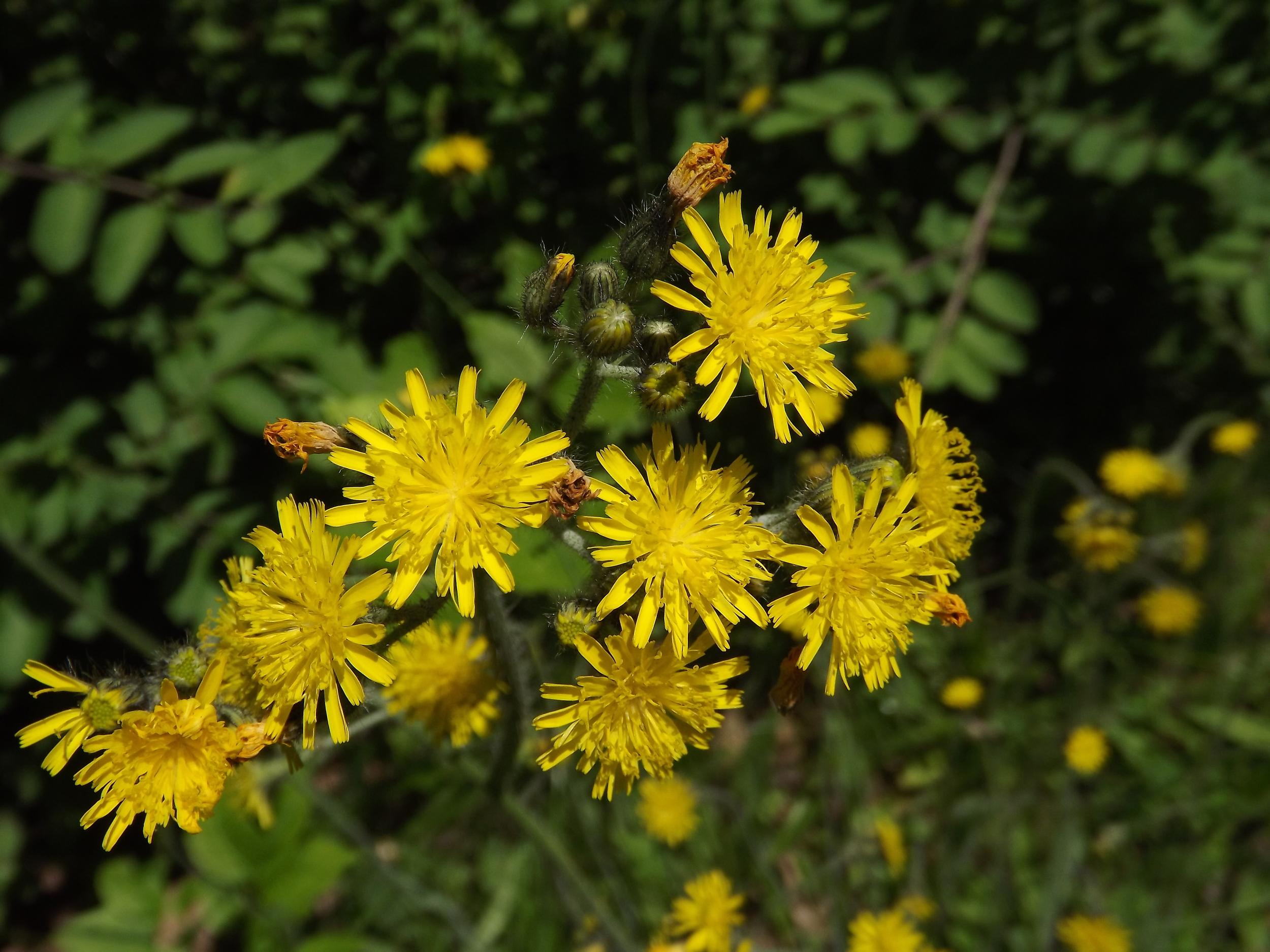Yellow Hawkweed   Hieracium pratense