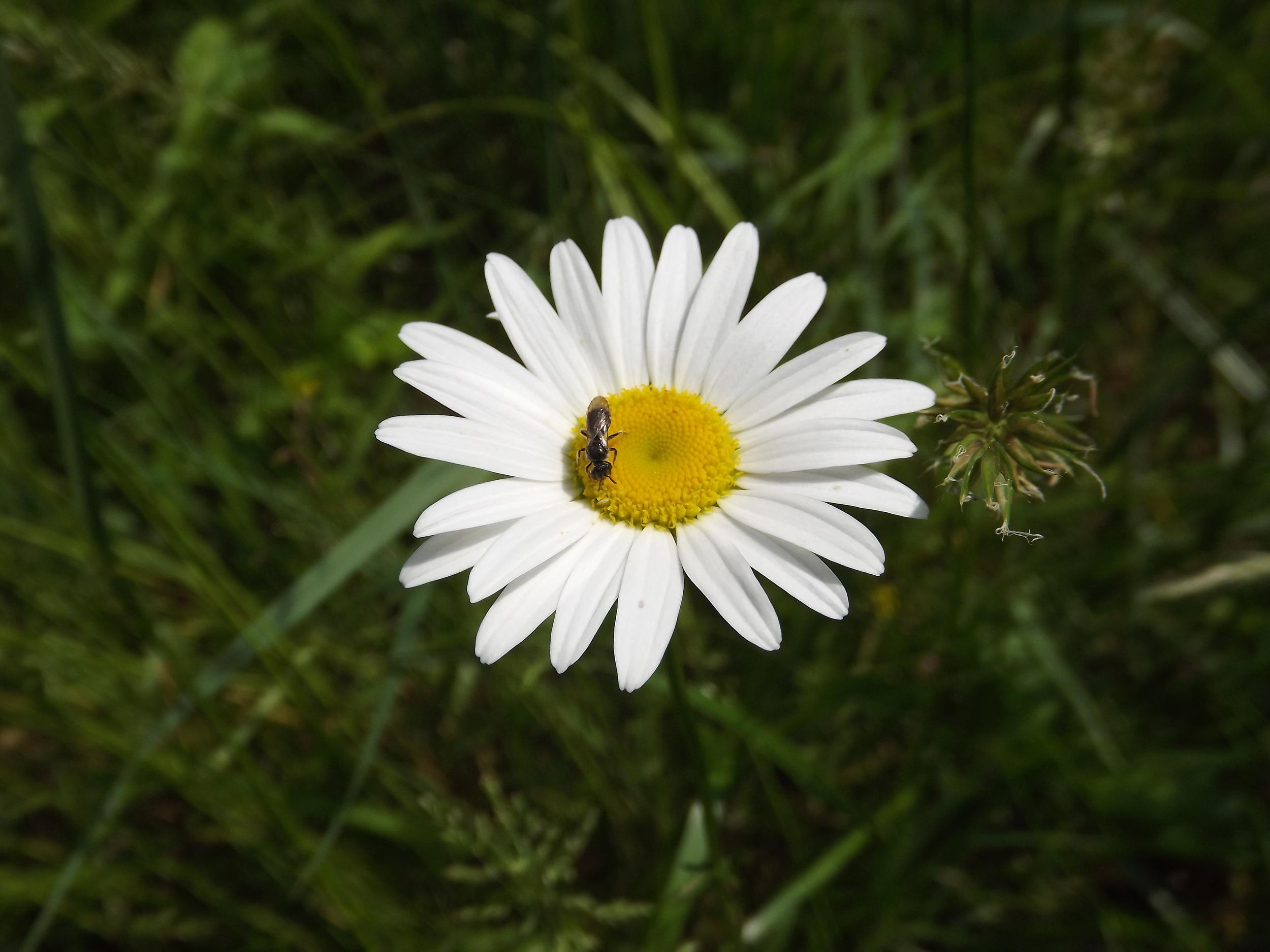 Ox-Eye Daisy (Non-Native)   Leucanthemum vulgare