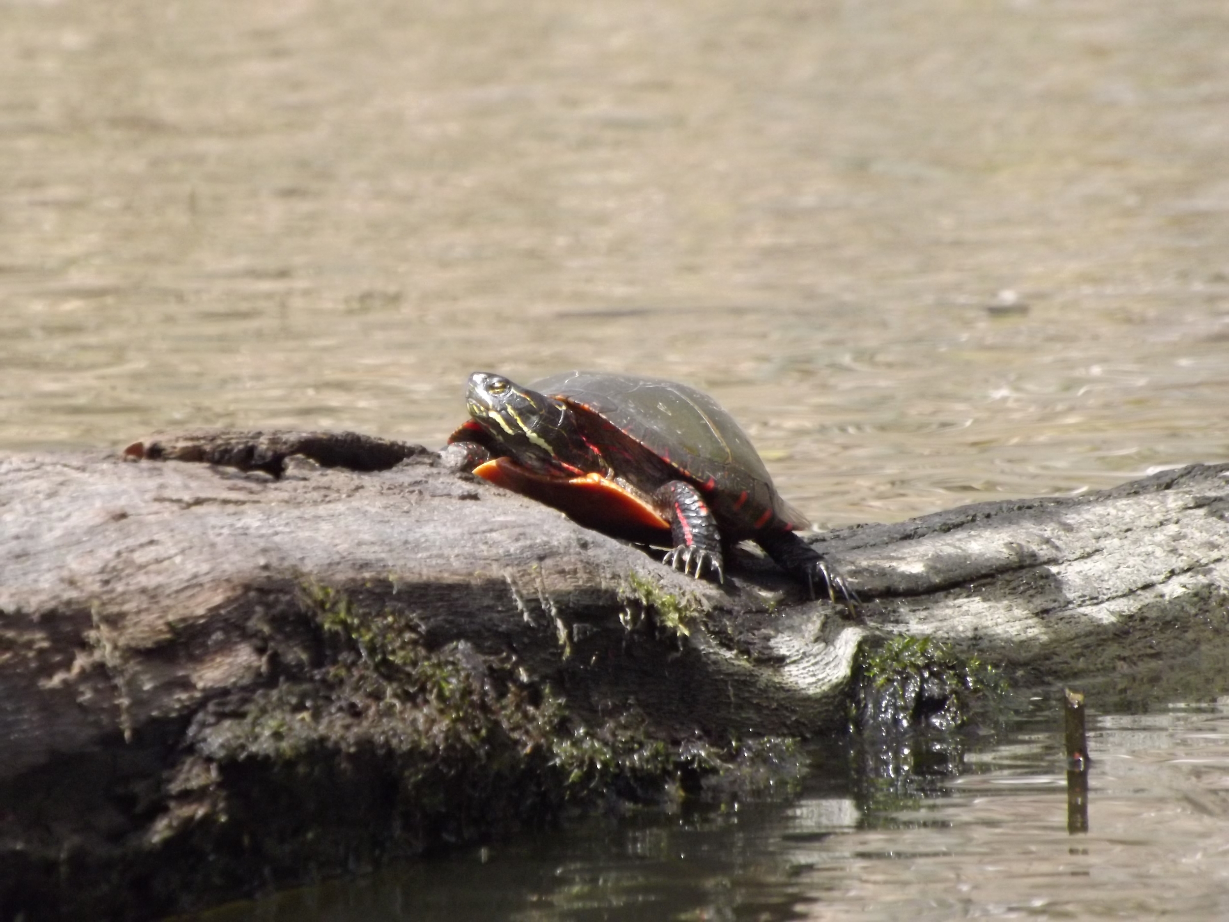 Eastern Painted Turtles   Chrysemys picta