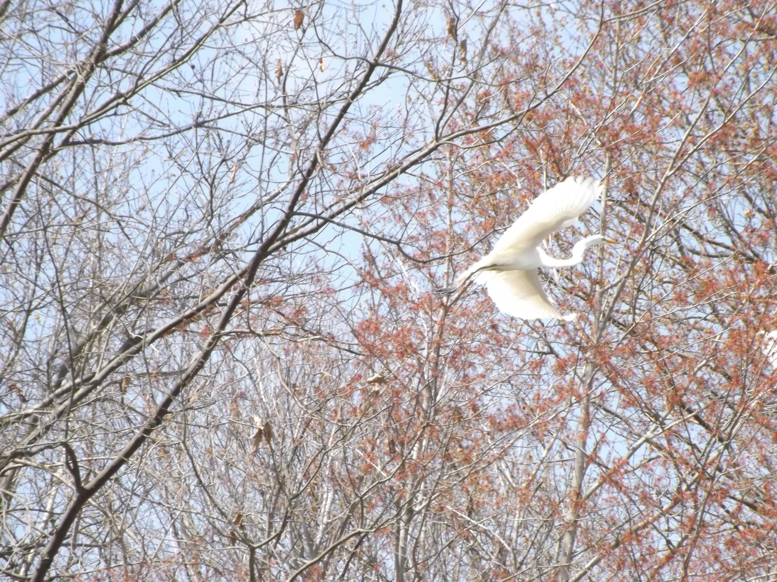 Great Egret   Ardea alba egretta