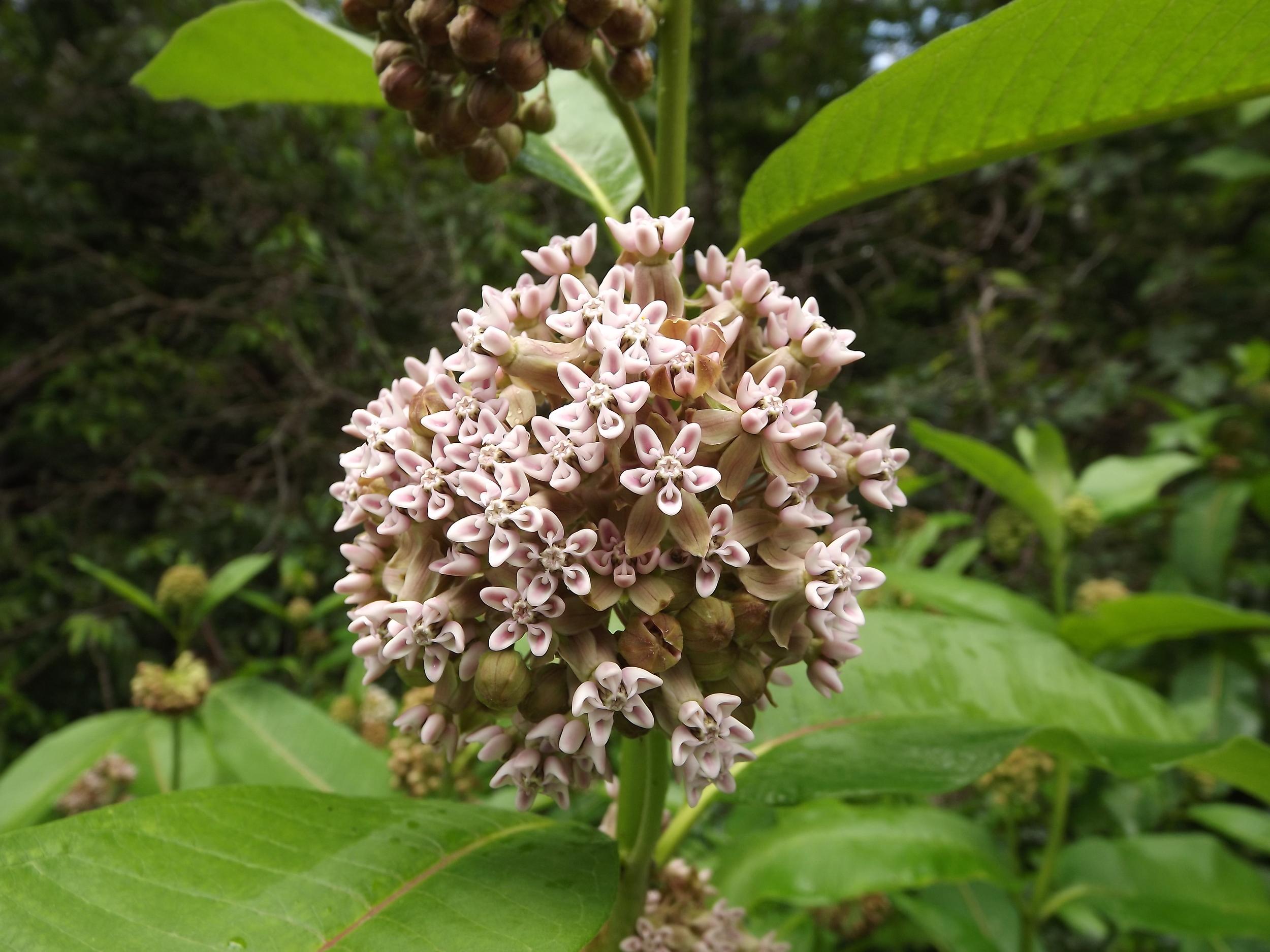Common Milkweed   Asclepias syriaca