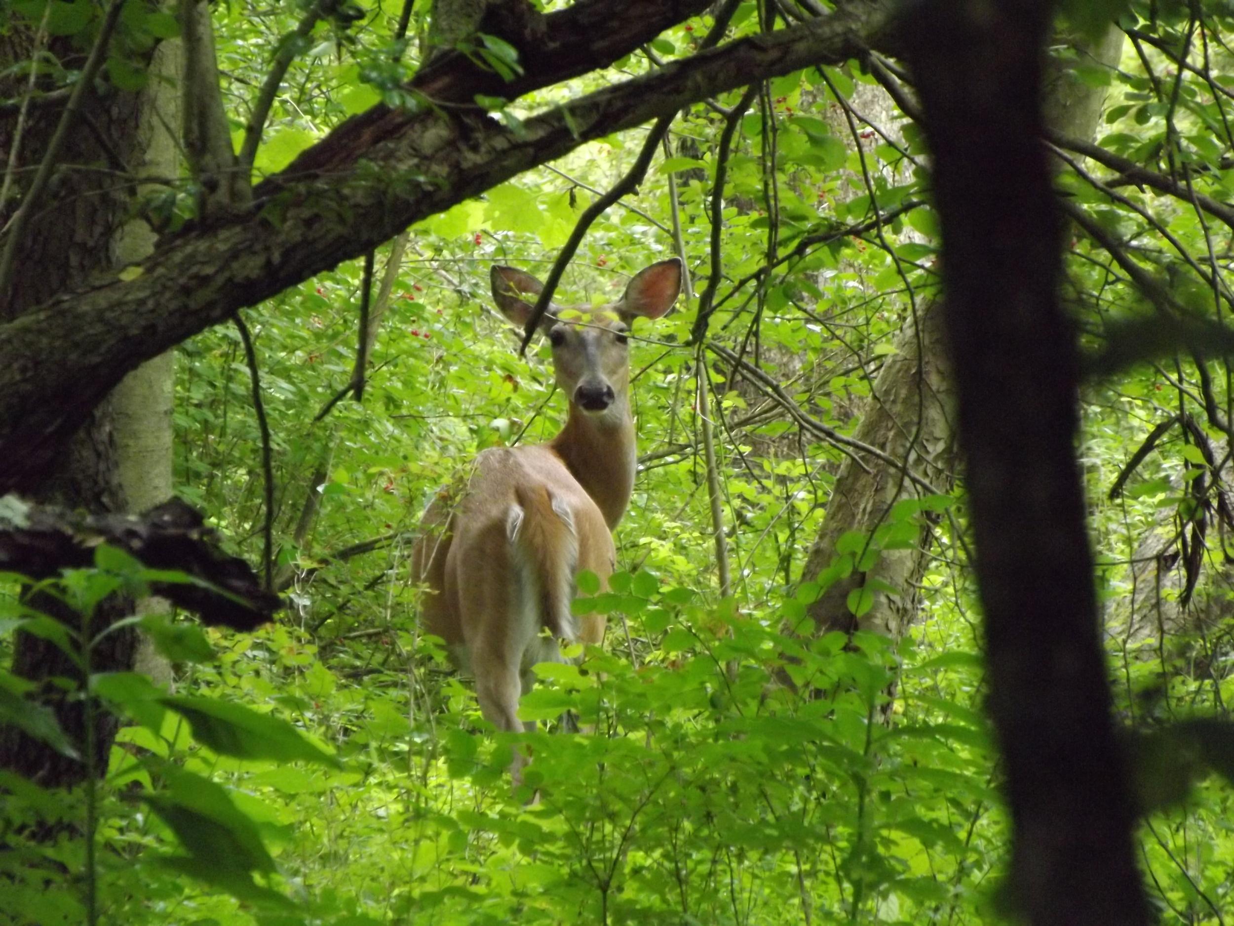 White Tail Deer   Odocoileus virginianus
