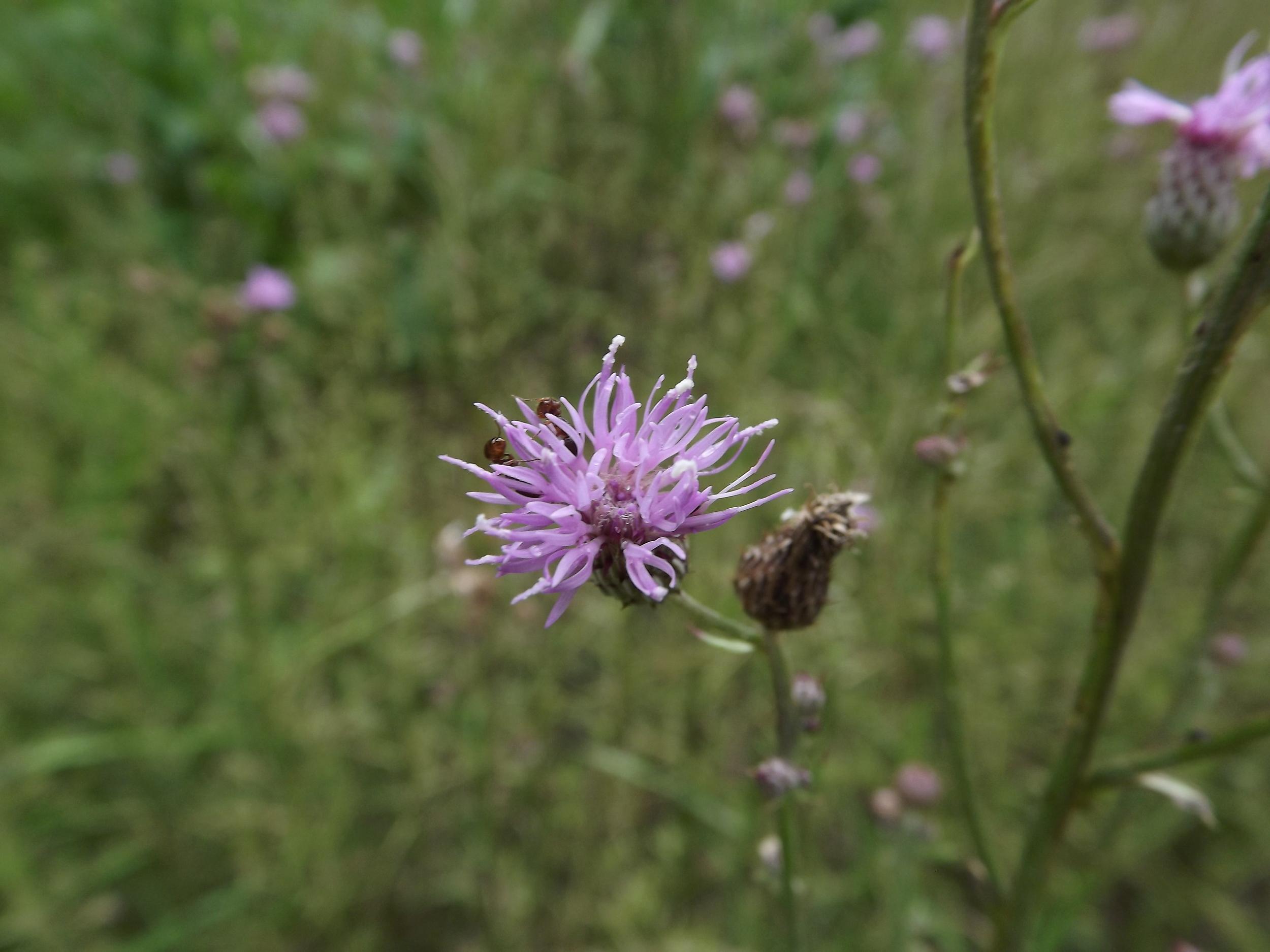 Canada Thistle (Non-Native)   Cirsium arvense