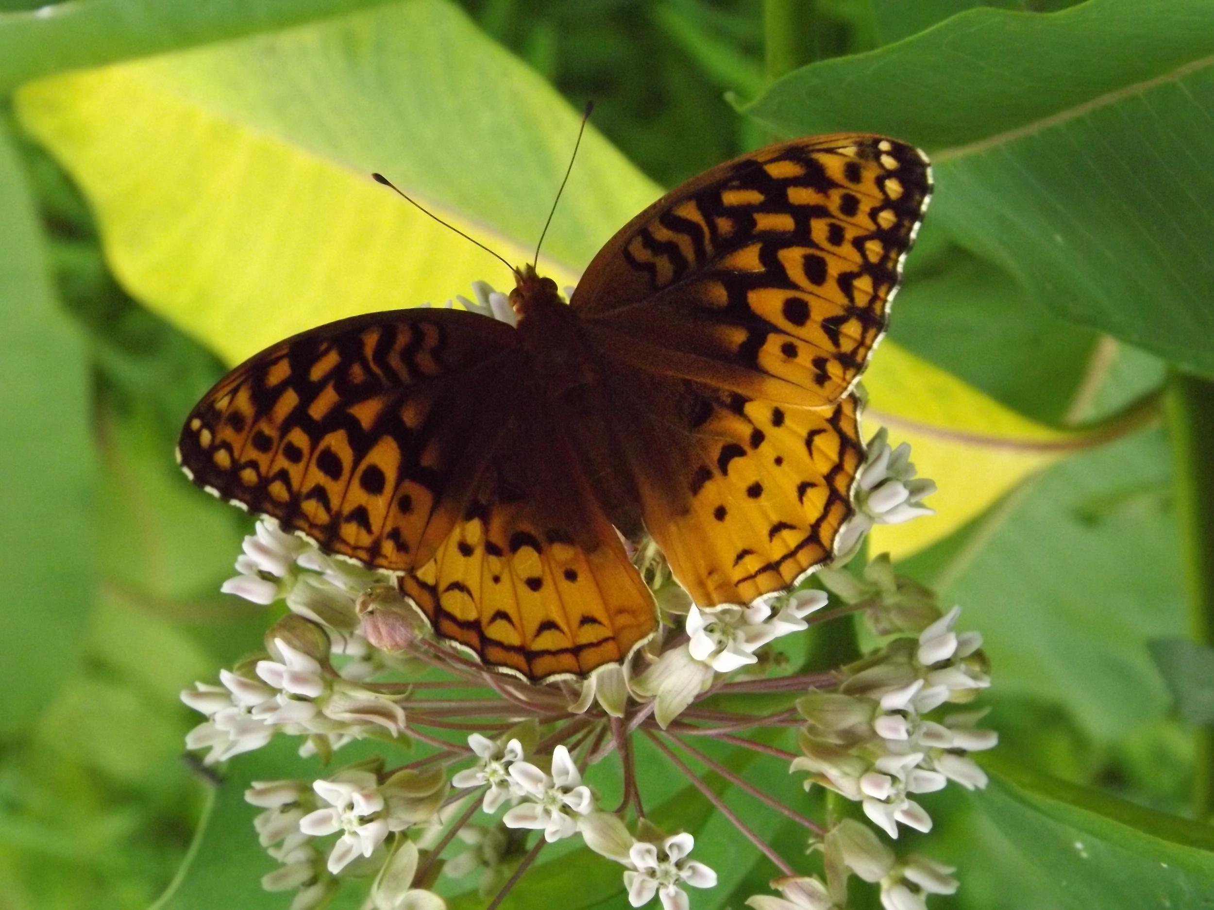 Great Spangled Fritillary Butterfly   Speyeria cybele