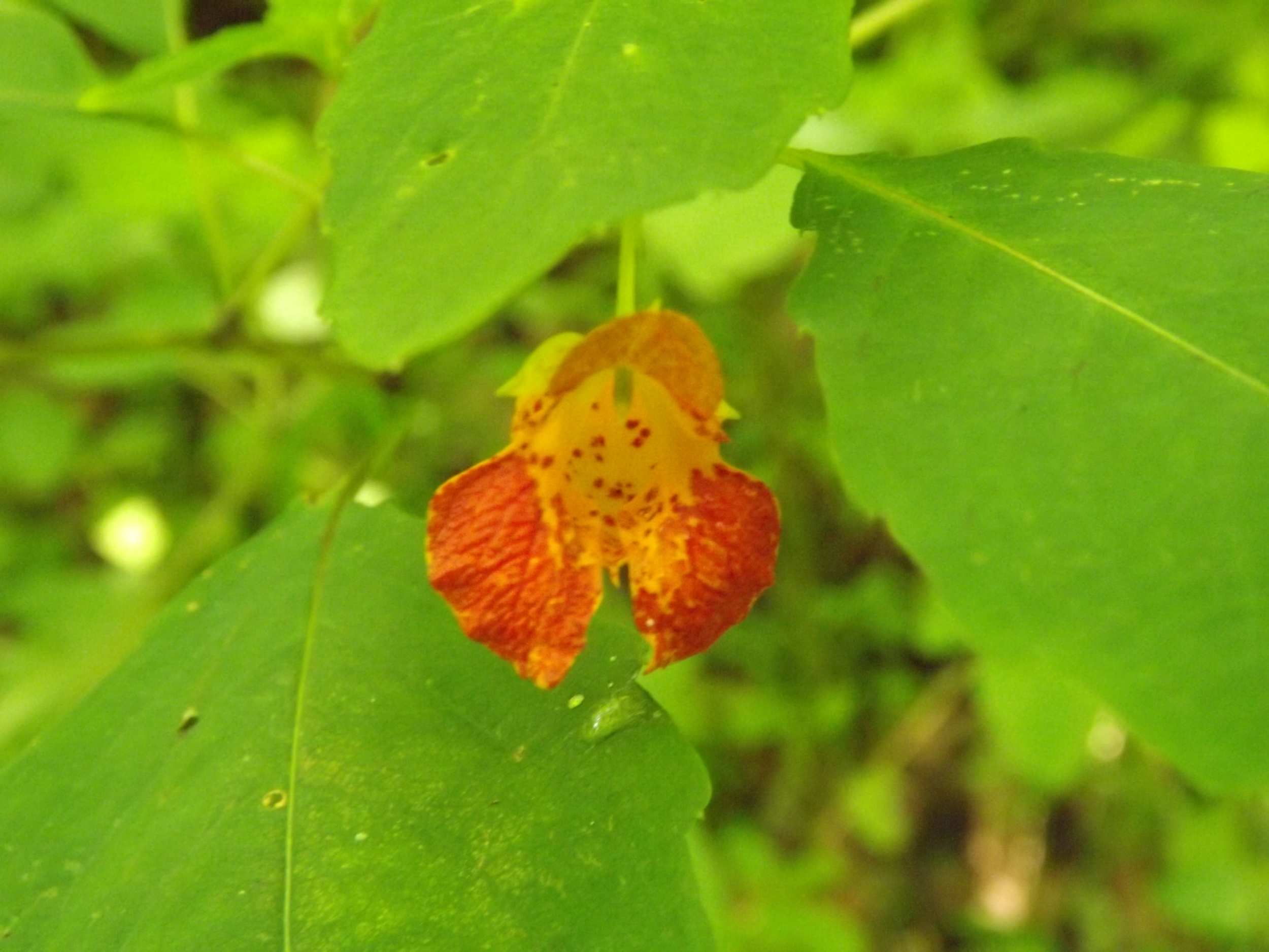 Spotted Touch Me Not   Impatiens capensis