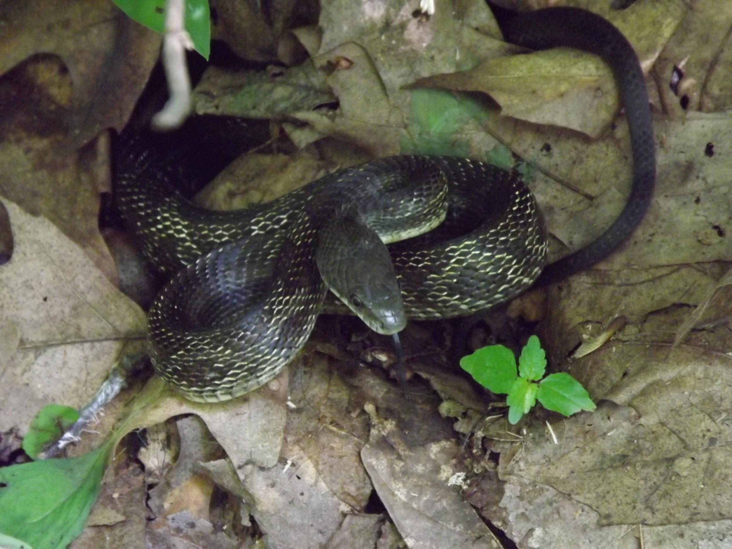 Black Rat Snake   Elaphe obsoleta obsoleta