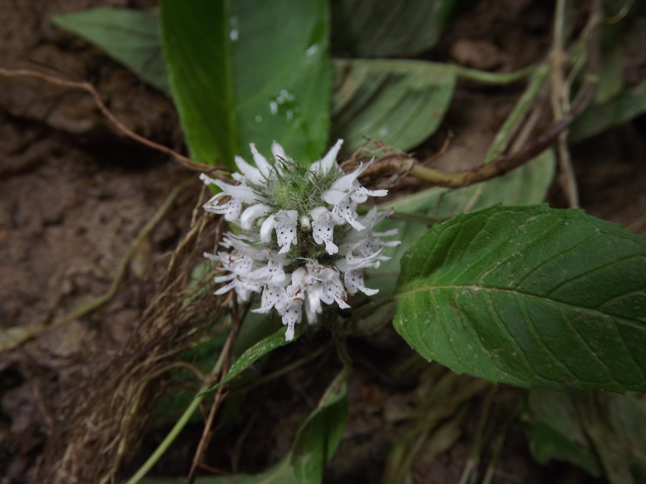 Hairy Wood Mint   Blephilia hirsuta