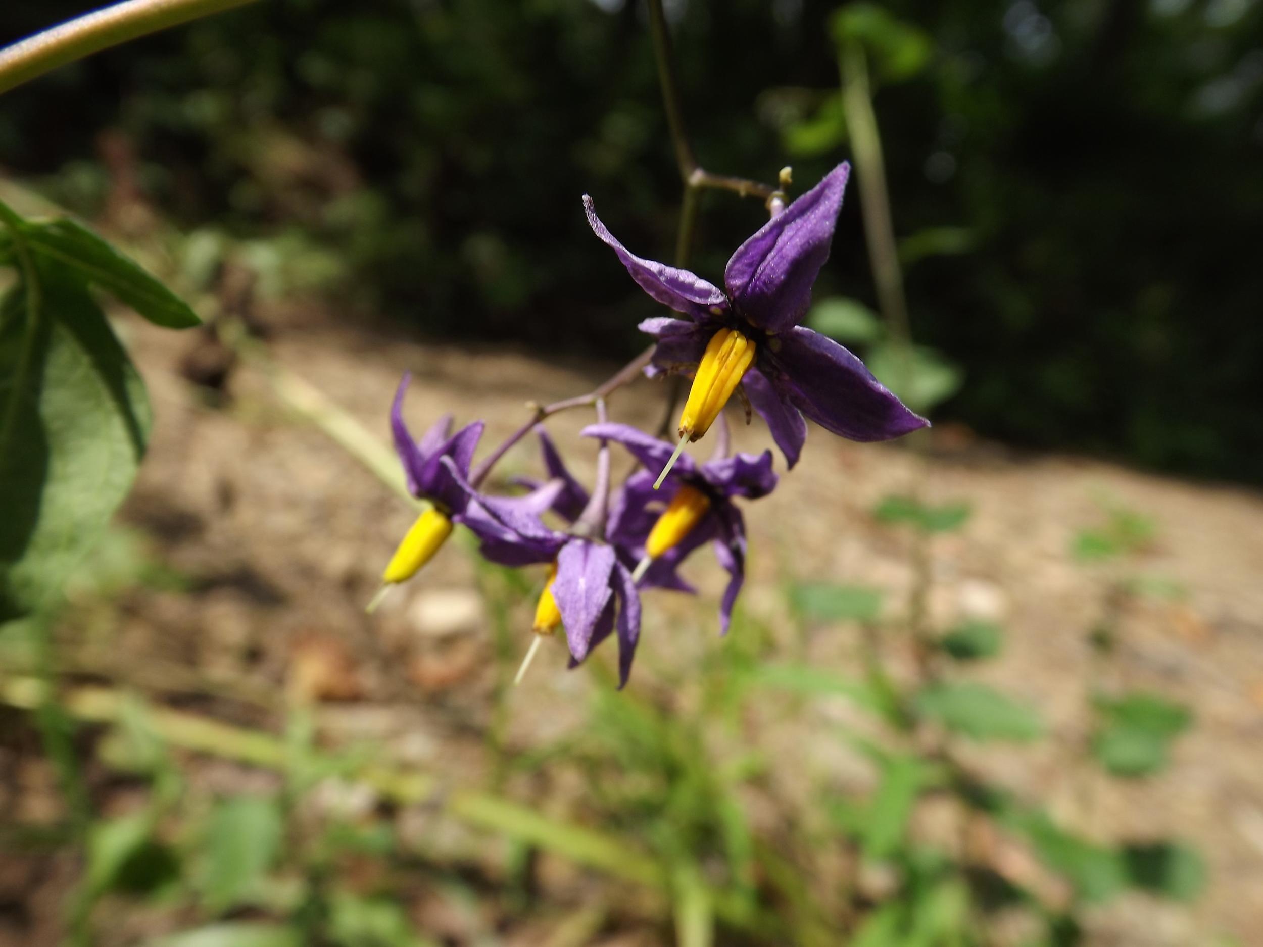 Bittersweet Nightshade (Non-Native)   Solanum dulcamara