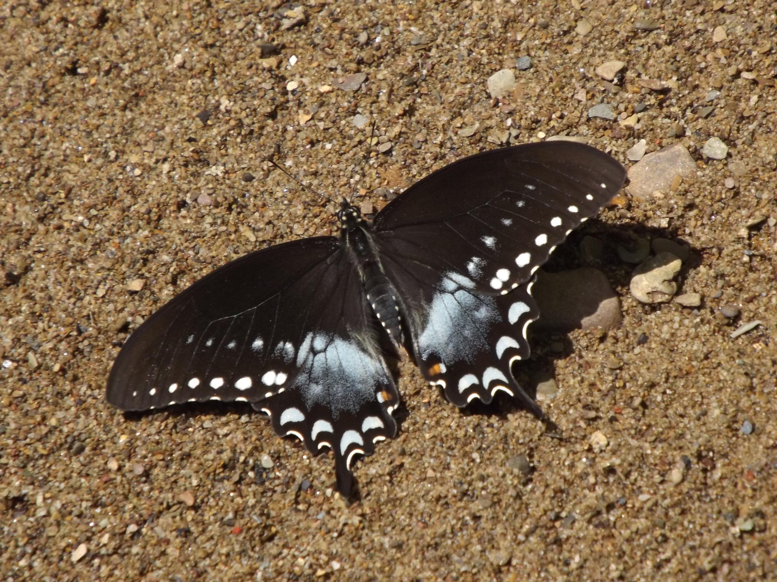 Eastern Black Swallowtail Butterfly    Papilio polyxenes