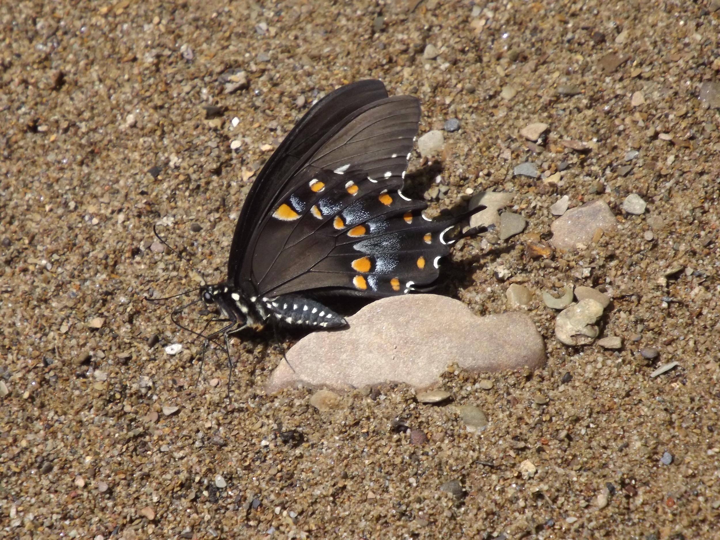 Eastern Black Swallowtail Butterfly     Papilio polyxenes asterias