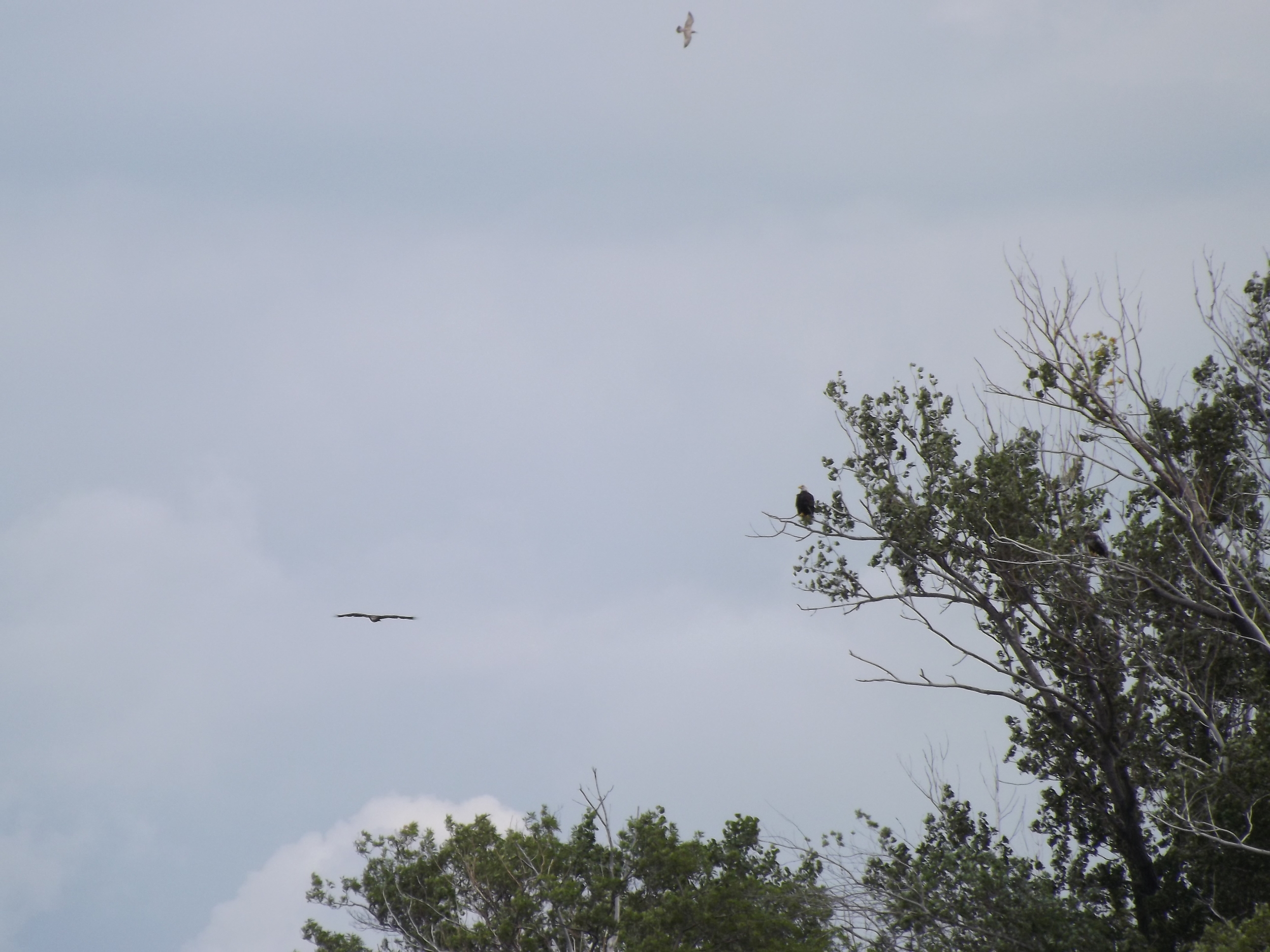 Bald Eagles   Haliaeetus leucocephalus